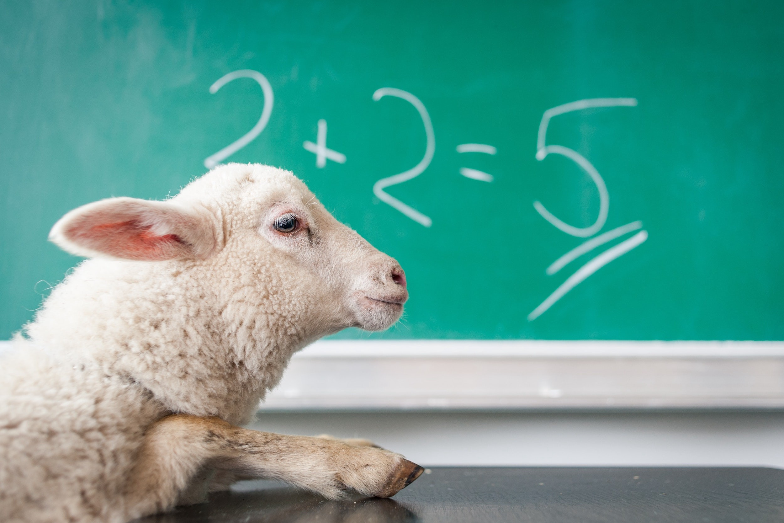 A sheep looks at a chalkboard with 2+2=5 written on it