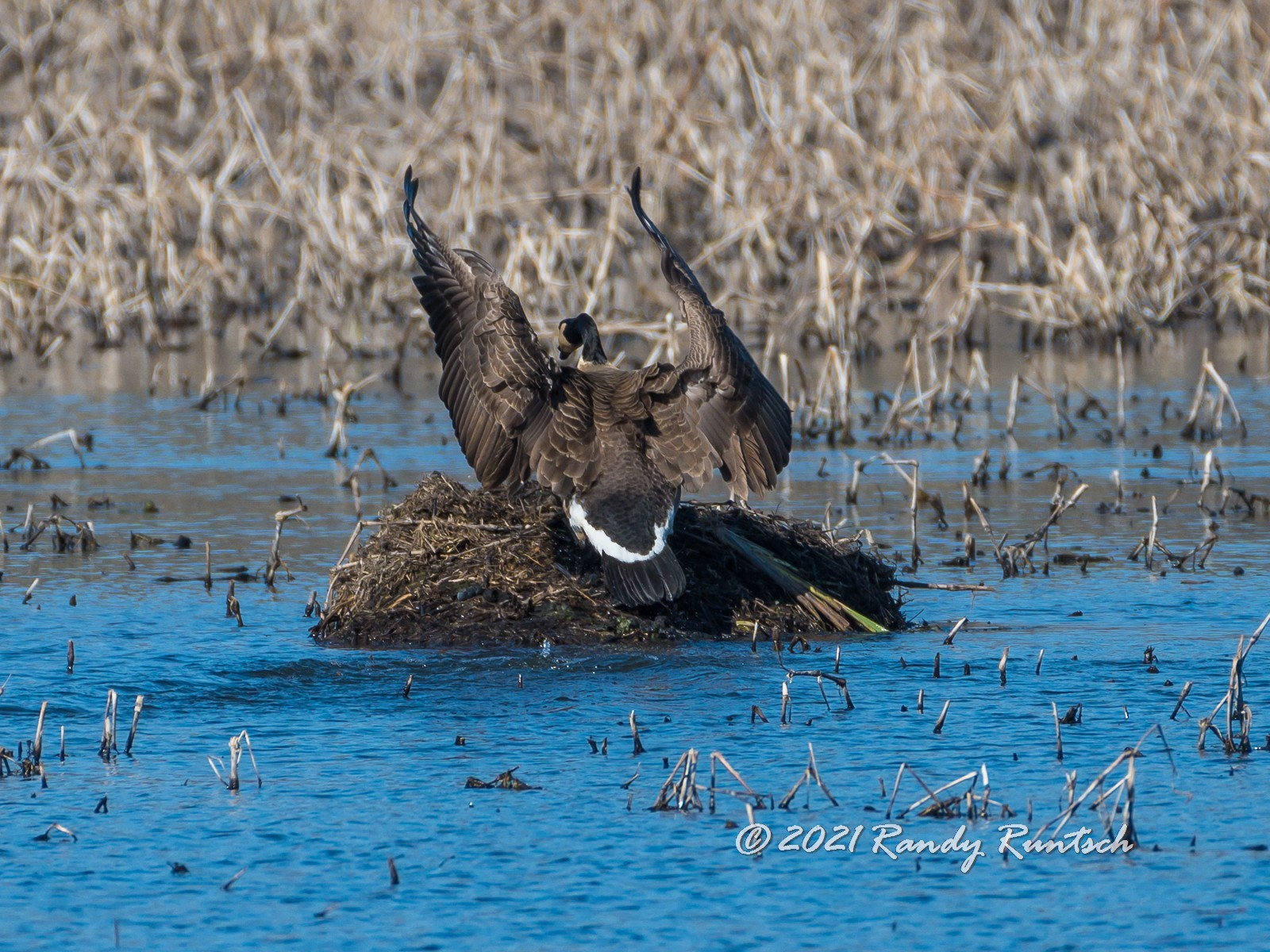 Canada goose lands on a muskrat push-up.