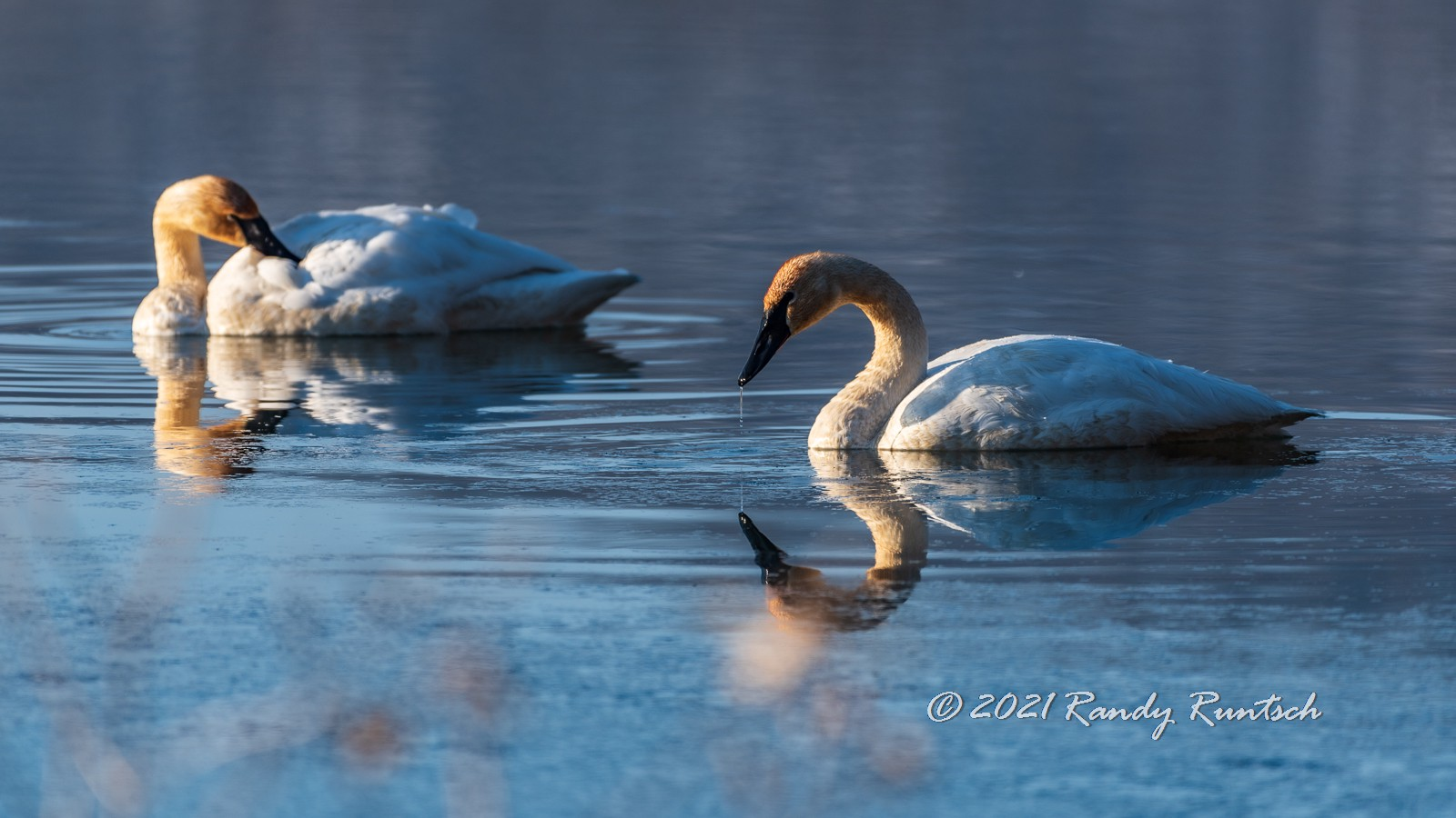 Pairs of trumpeter swans occupy the valley year-round. Many more birds pass through during their spring and fall migrations.