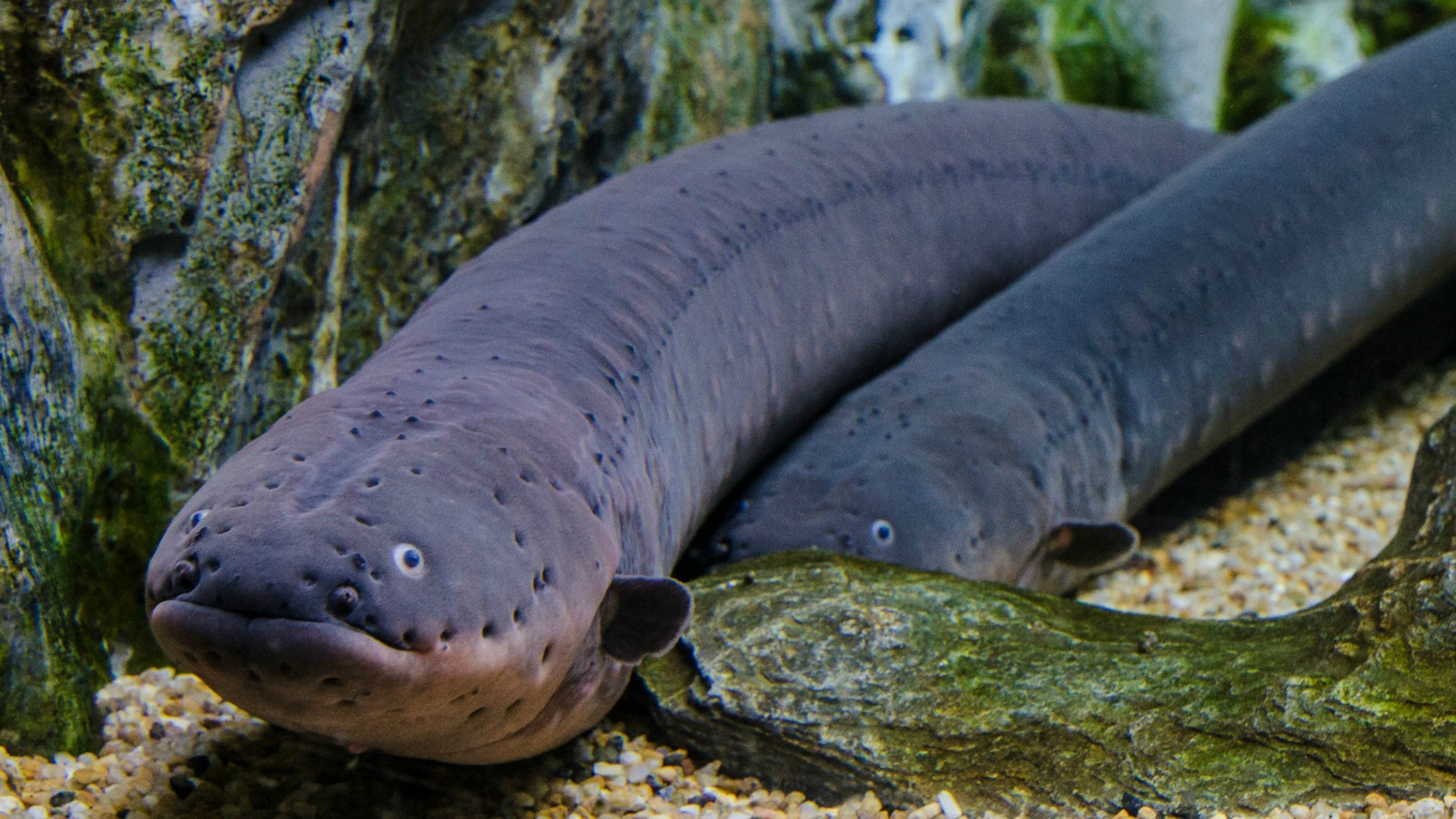 an image of an electric eel fish