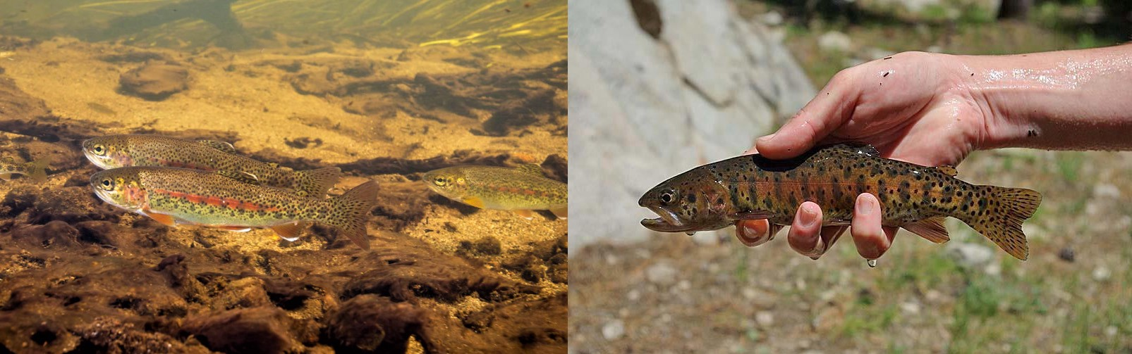Side-by-side comparison of two fish that have brown speckles, with yellow and red coloration.