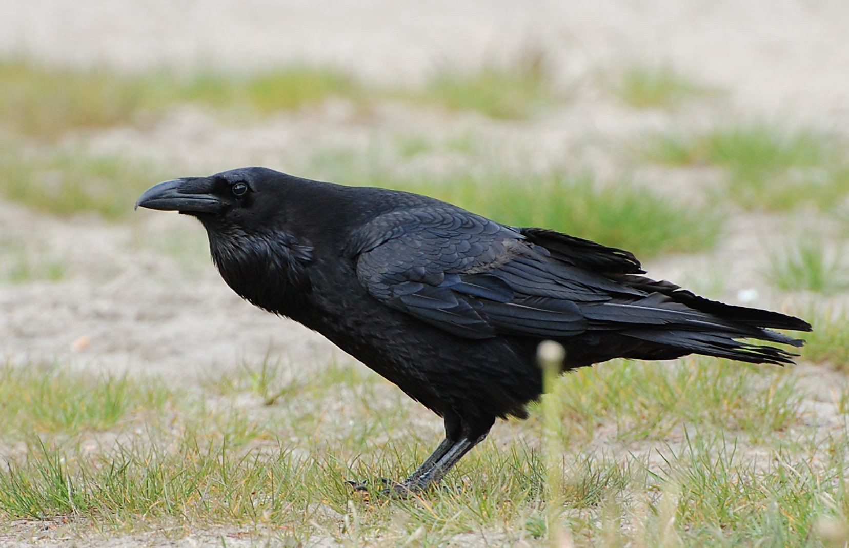 Caw vs  Kraa: the meaning in the calls of crows and ravens