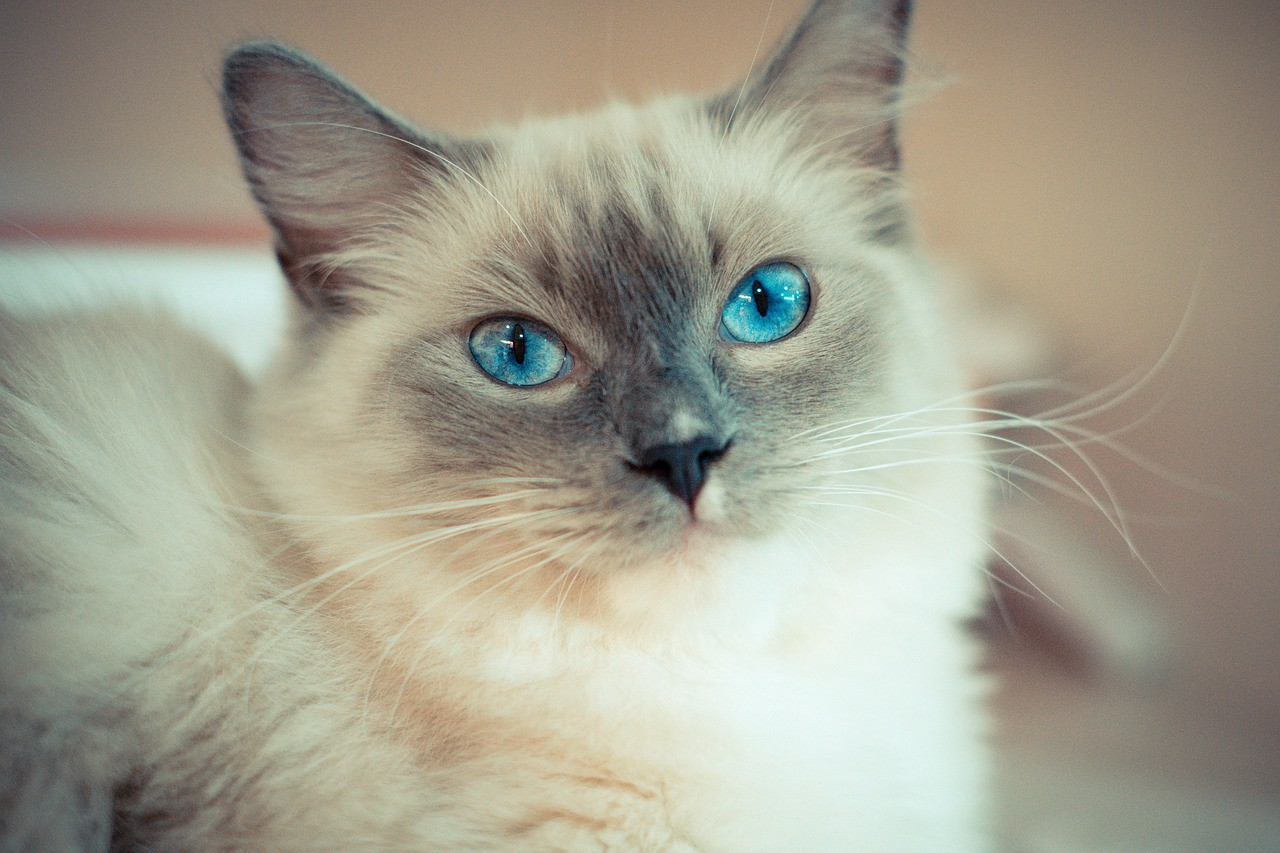 7 Things You Should Know About Ragdoll Cats By Bom Gamer Medium