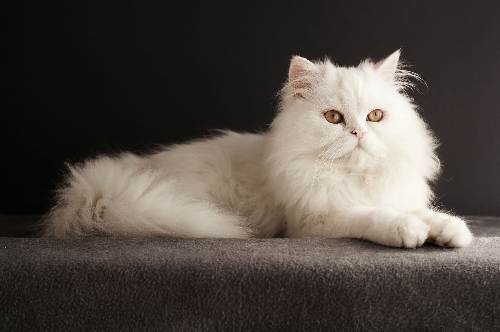 Persian cat - 4KPets - Medium