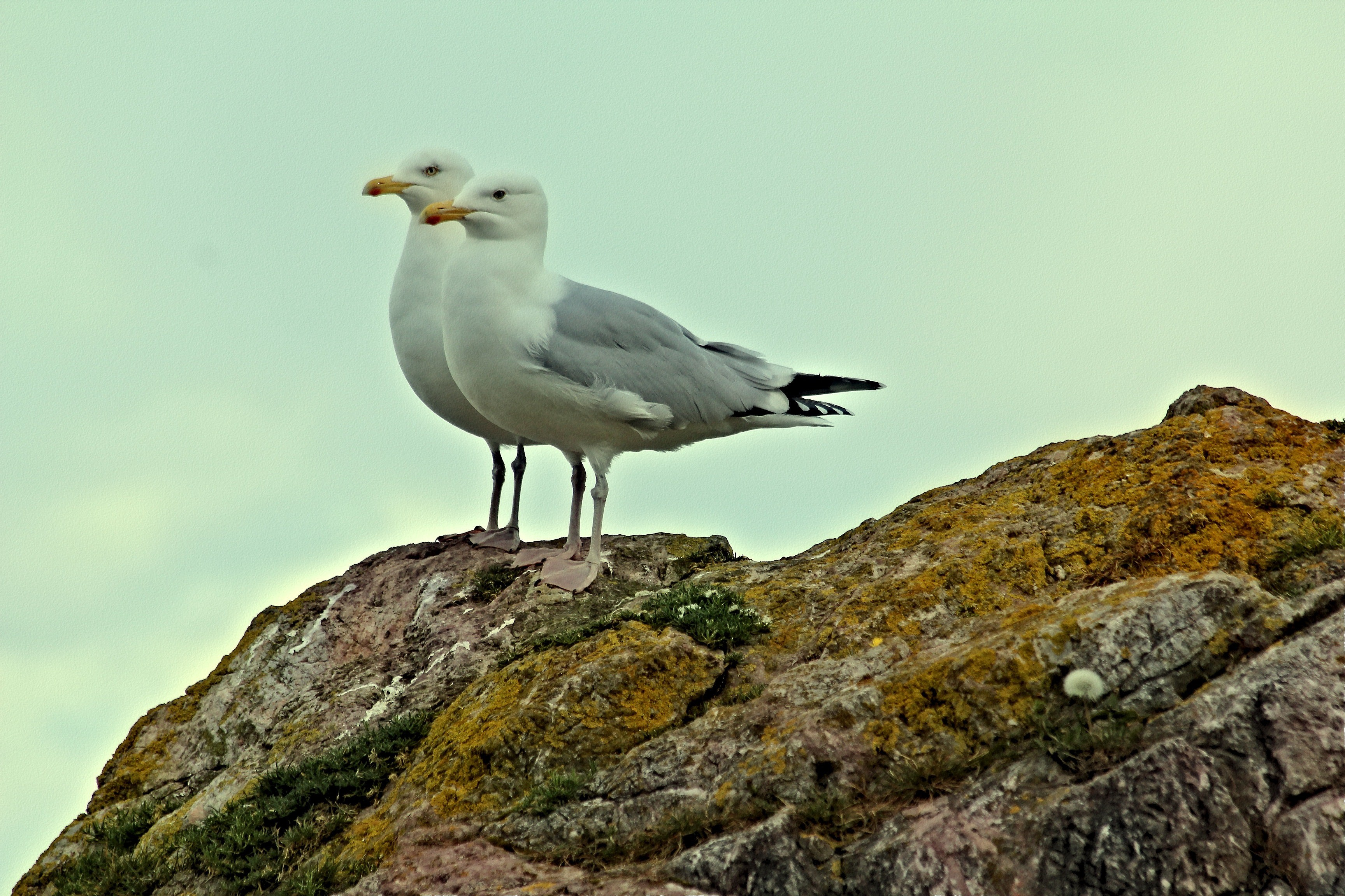two seagulls on a beach rock, side by side, one perched a tad higher than the other