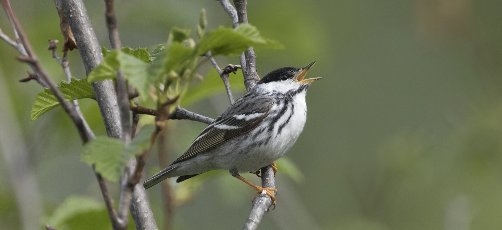 a blackpoll warbler singing on a branch