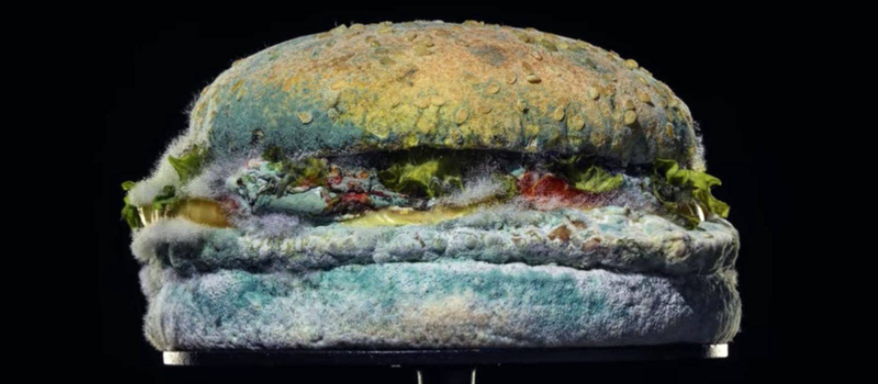 An unappetizing picture of a Burger King whopper with furry gray and green mold on it.