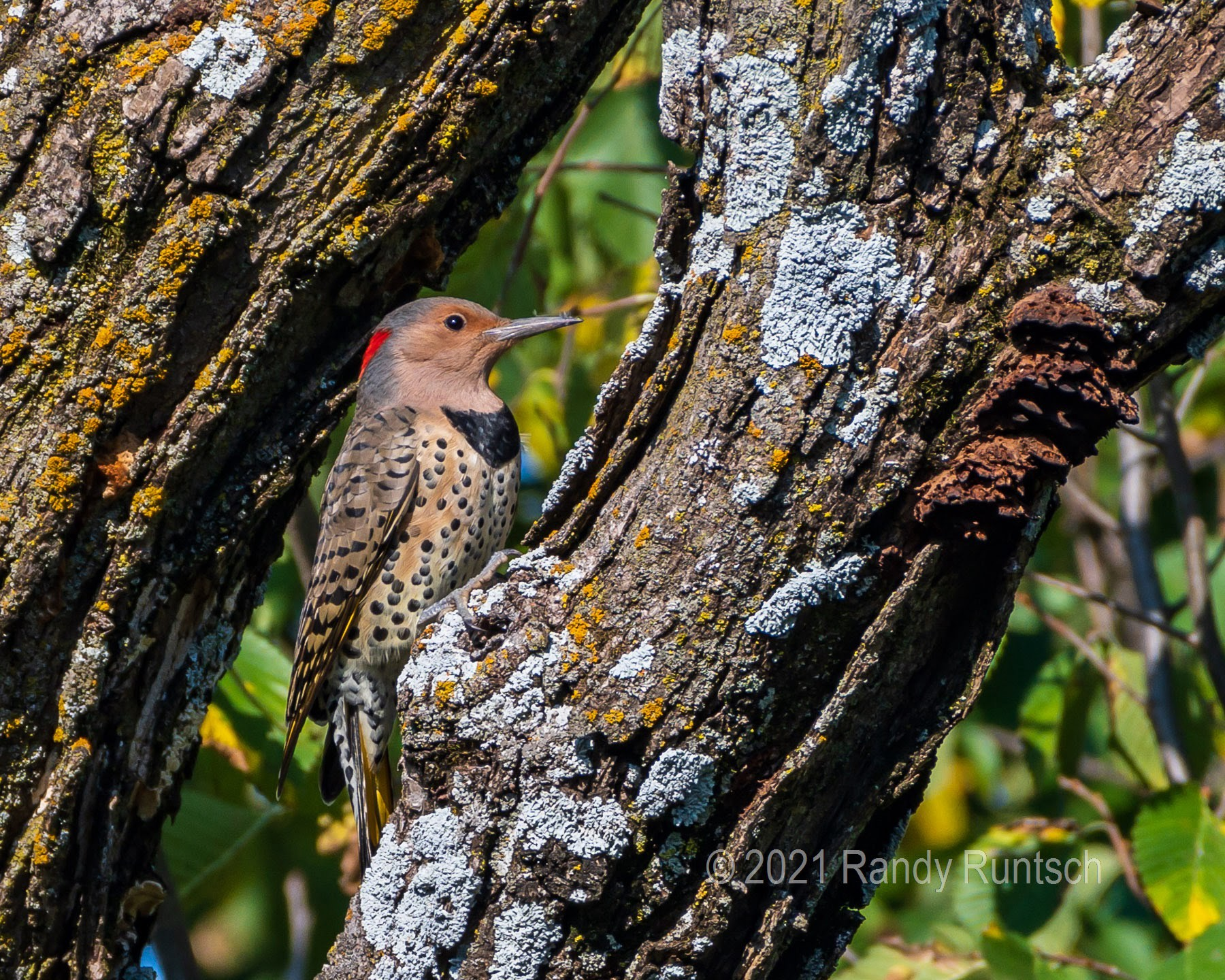 Female yellow-shafted Northern Flicker.