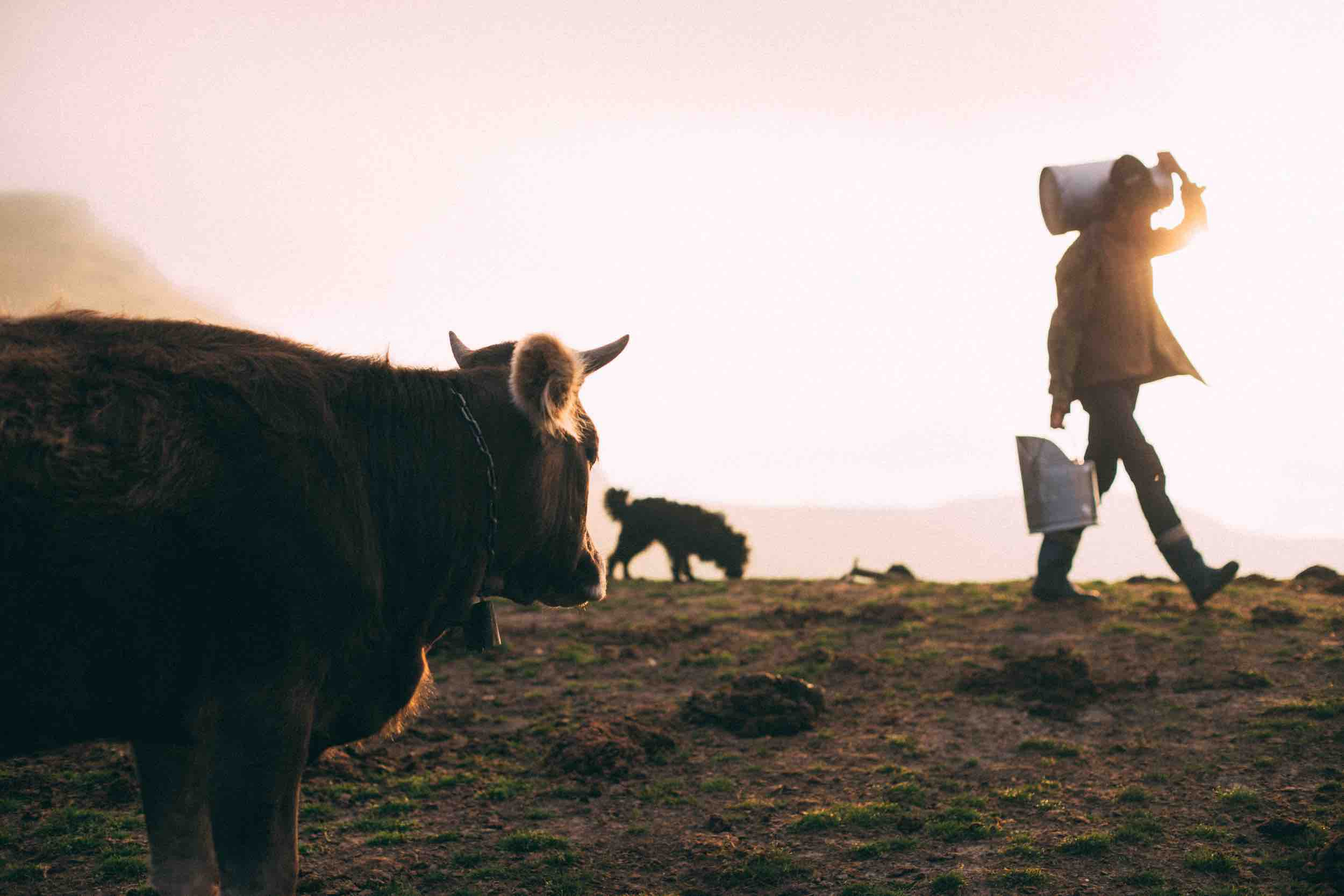 Cow, watching a farmer walk off with a milk container. Photo by Mihail Macri on Unsplash