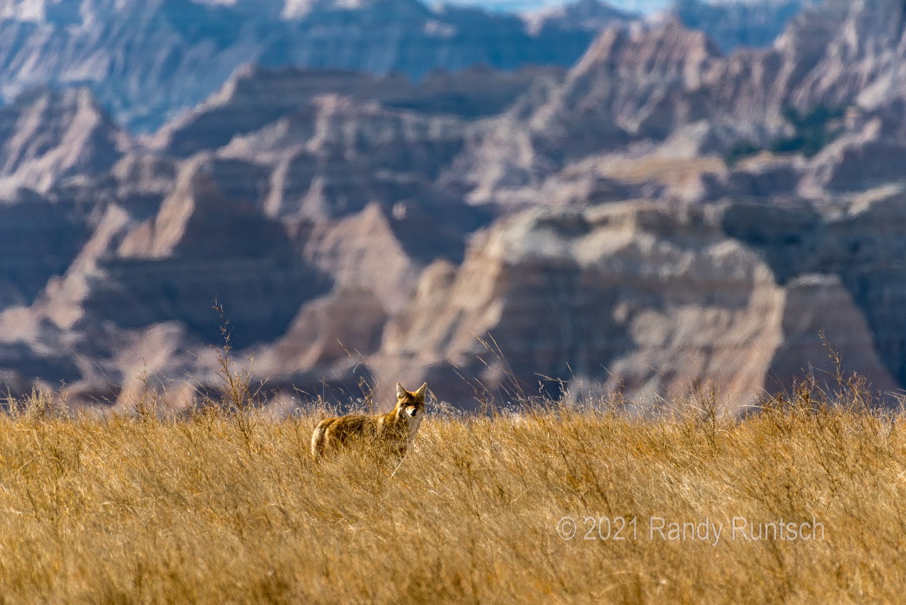A coyote peers out from the tallgrass prairie in Badlands National Park in South Dakota.