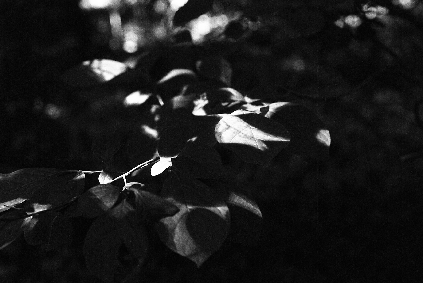 black and white dappled light on leaves