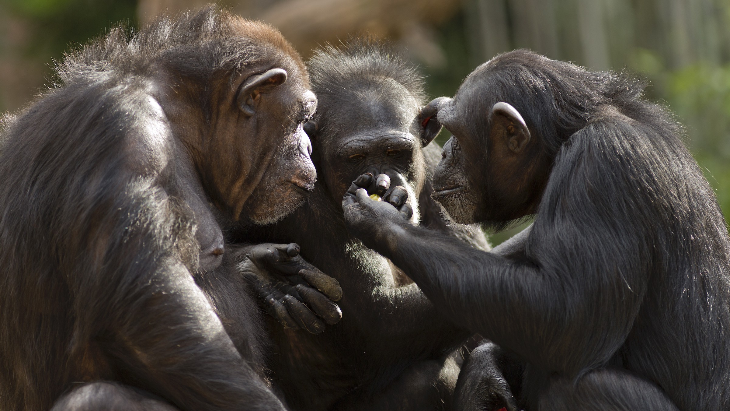 A chimpanzee holds up a piece of fruit for two other chimps to examine.
