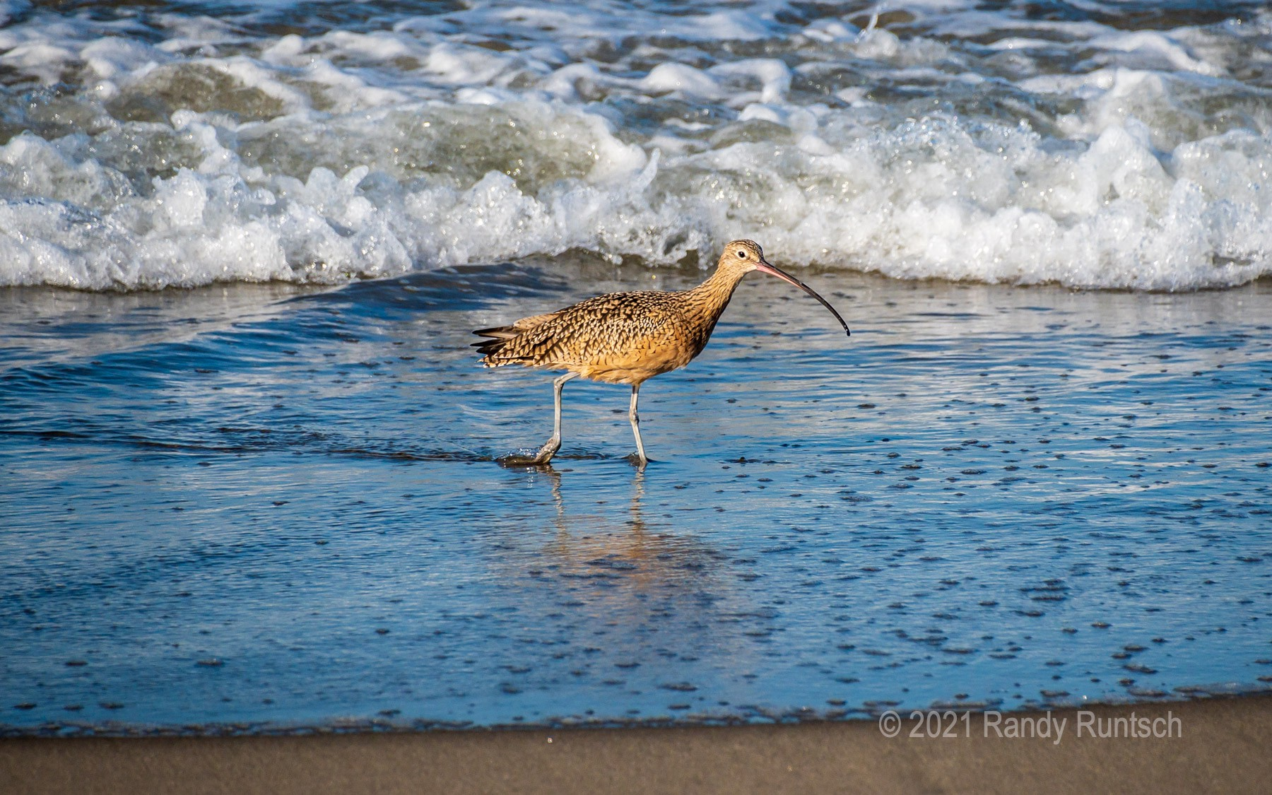 Long-billed curlew walking on the beach at Moss Landing in California.