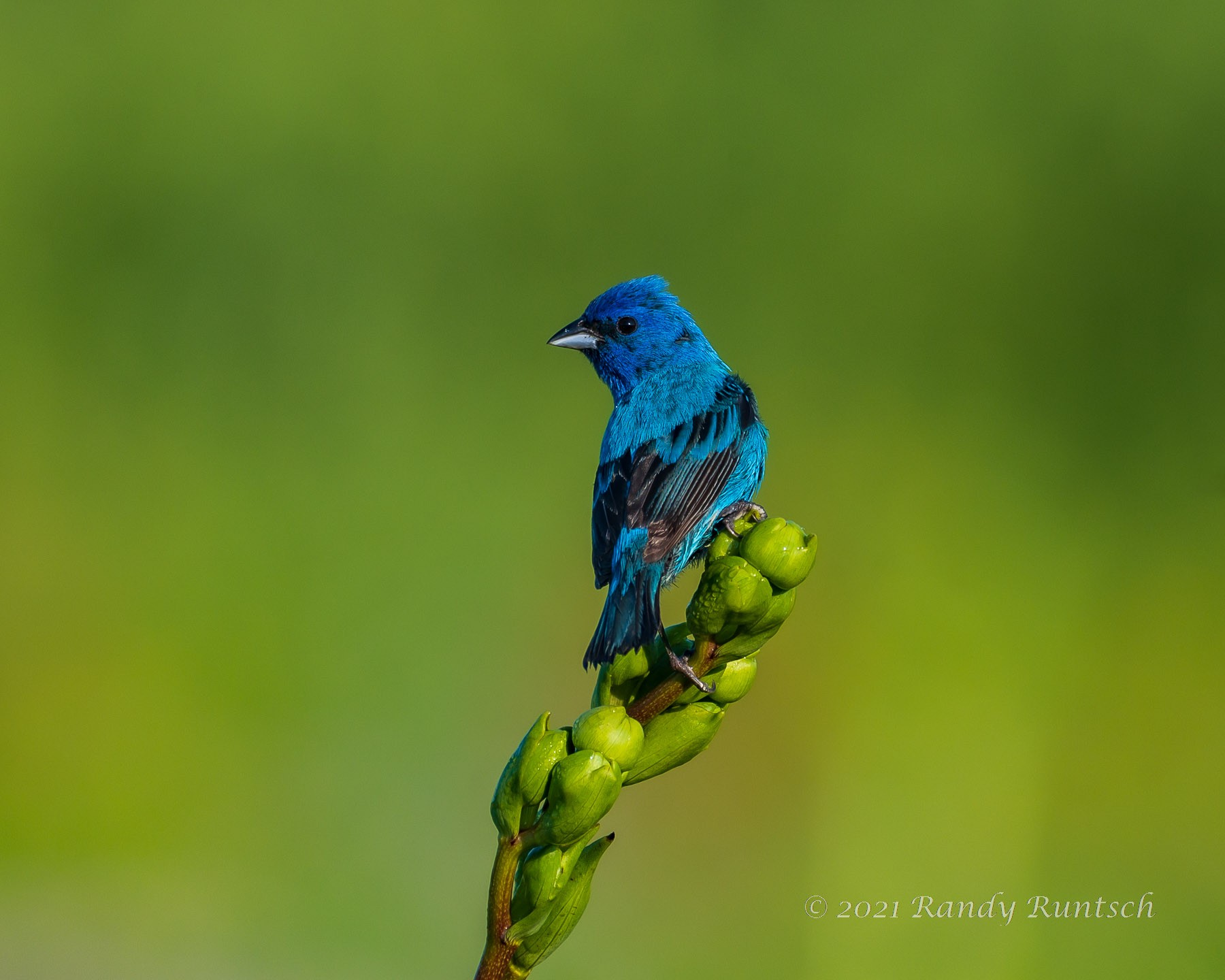 Male indigo bunting. Photo by the author.