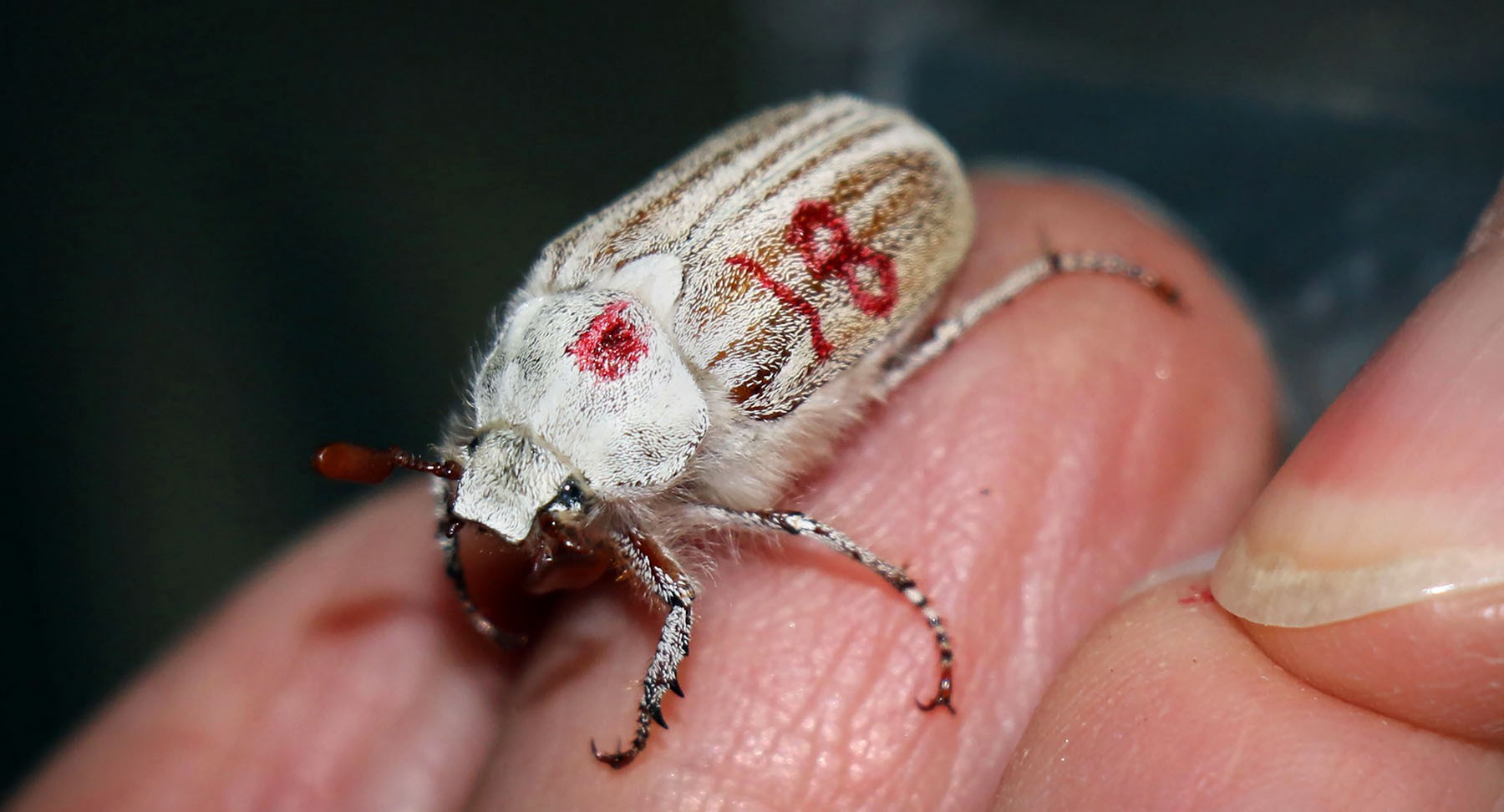 a white beetle that's tagged with the number 18 on a biologist's hand