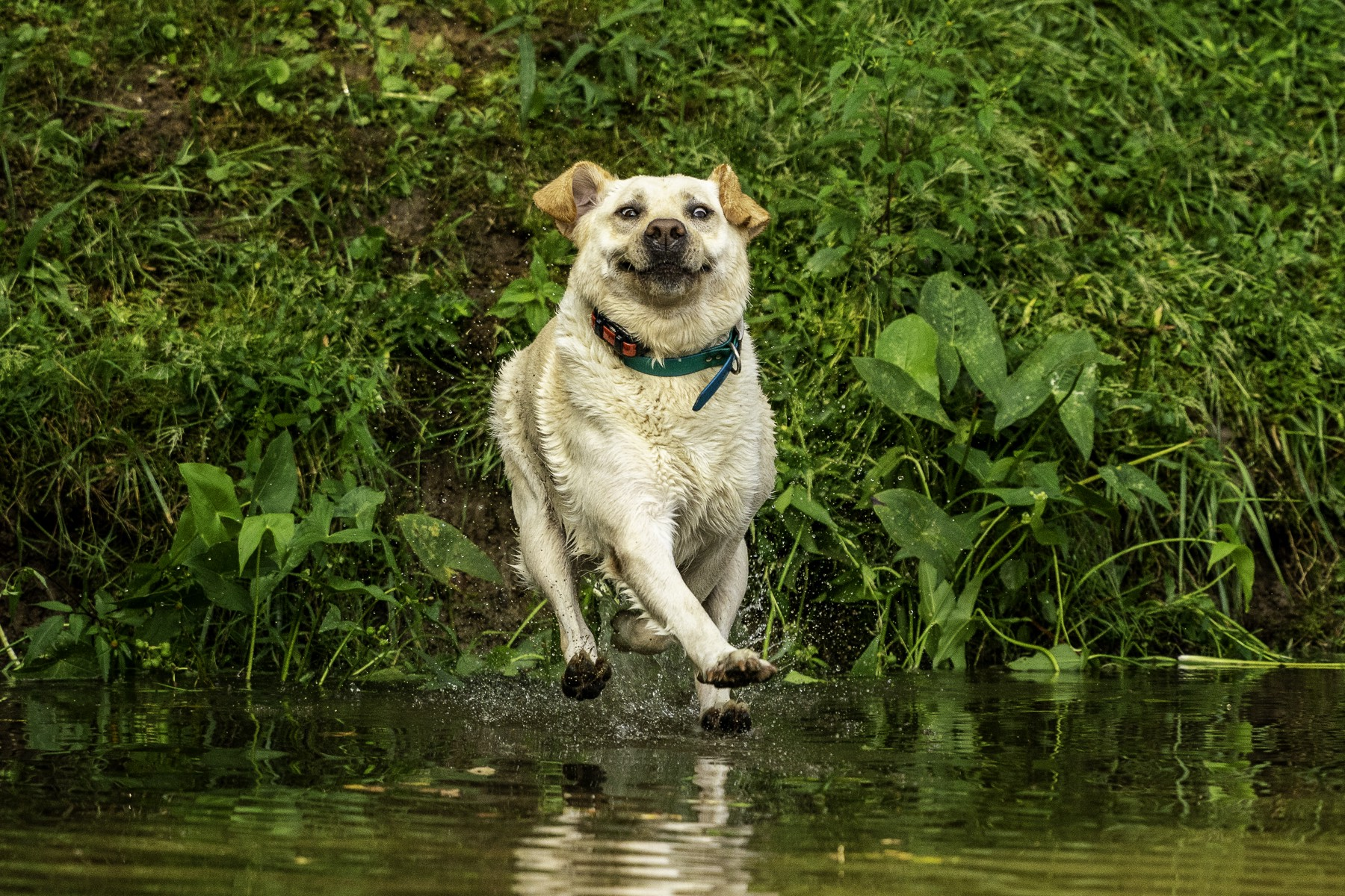 A dog running in a creek appears to be floating over the water, with an incredibly goofy expression on his face