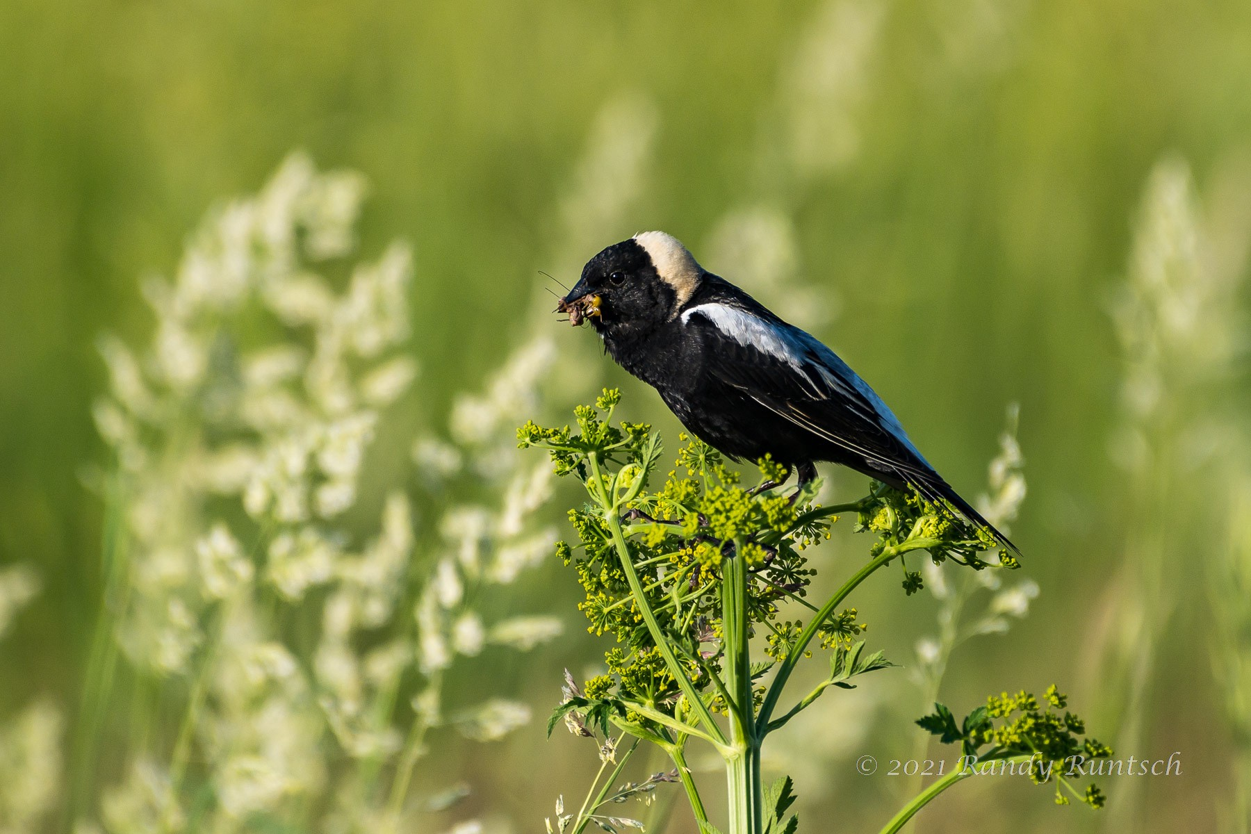 Bobolink with a mouthful of insects. © 2021 Randy Runtsch