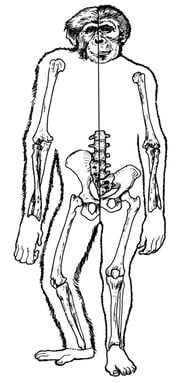 Fossil remains of early australopithecine (right side) match up remarkably well with the bones of a pygmy chimpanzee (left side)