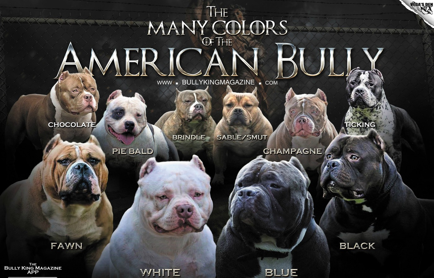 The Many Colors Of The American Bully - BULLY KING Magazine