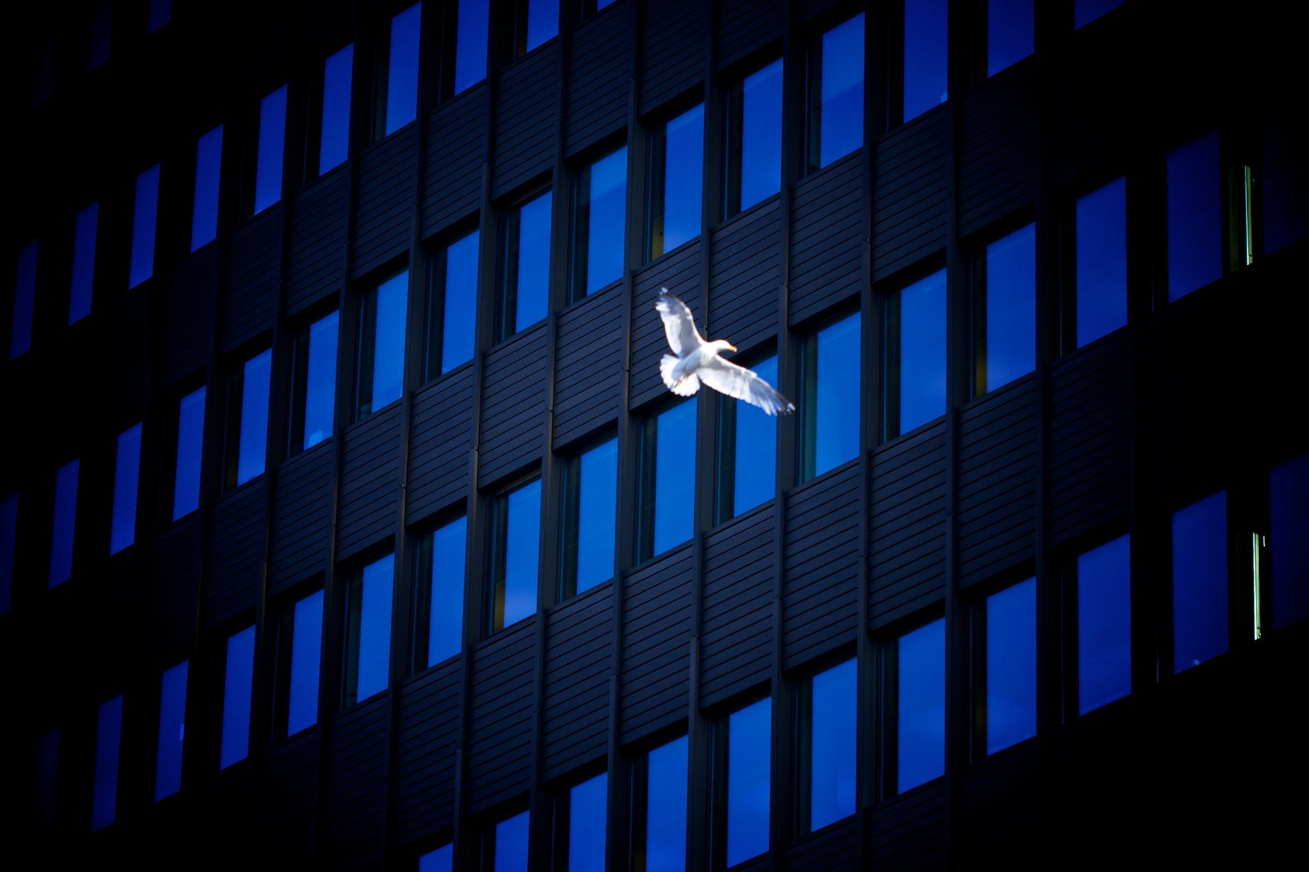 A photo of a dove flying across a building with blue-reflected windows.