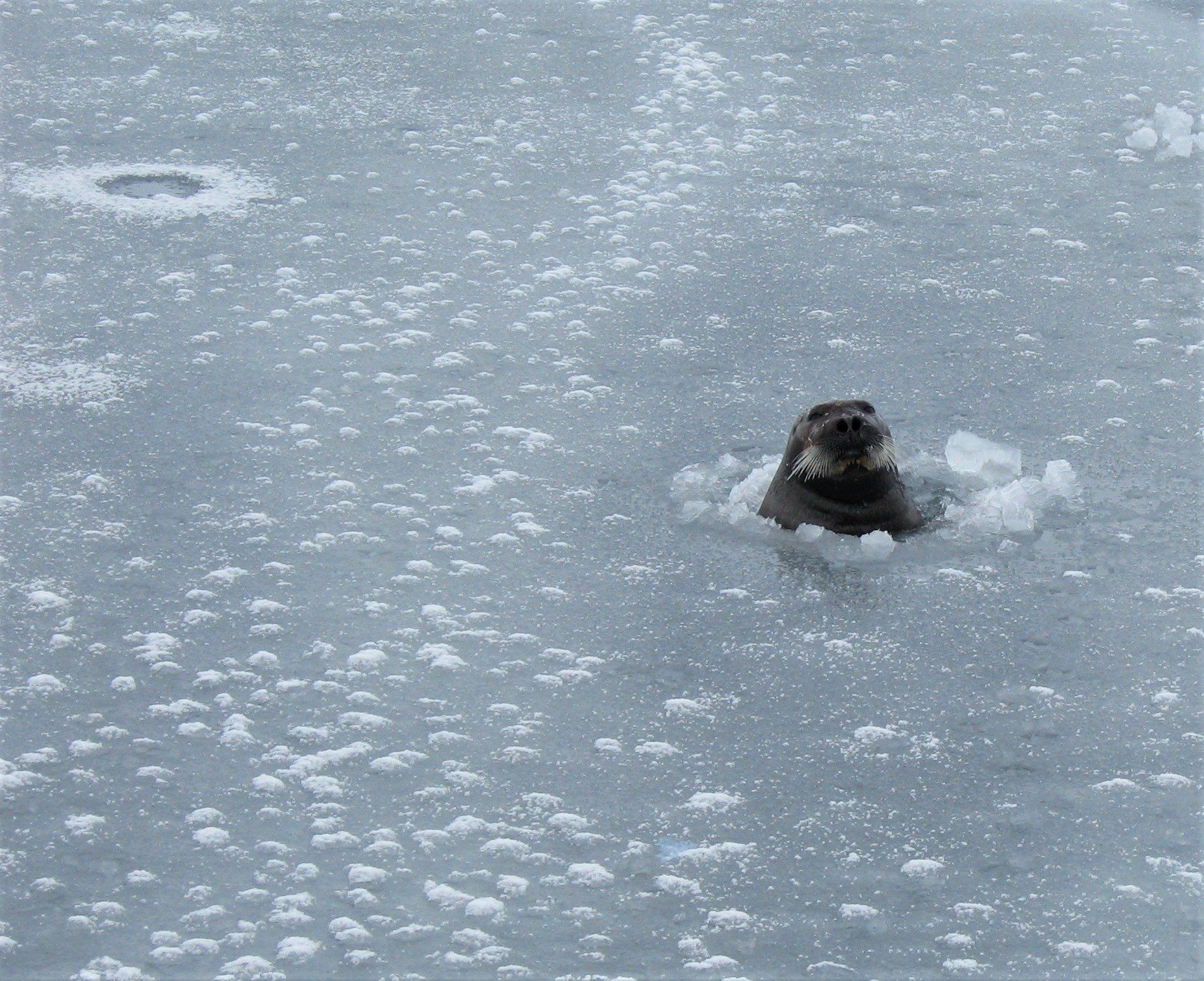A seal with head poking through a hole in the ice. Another hole can be seen in the background.