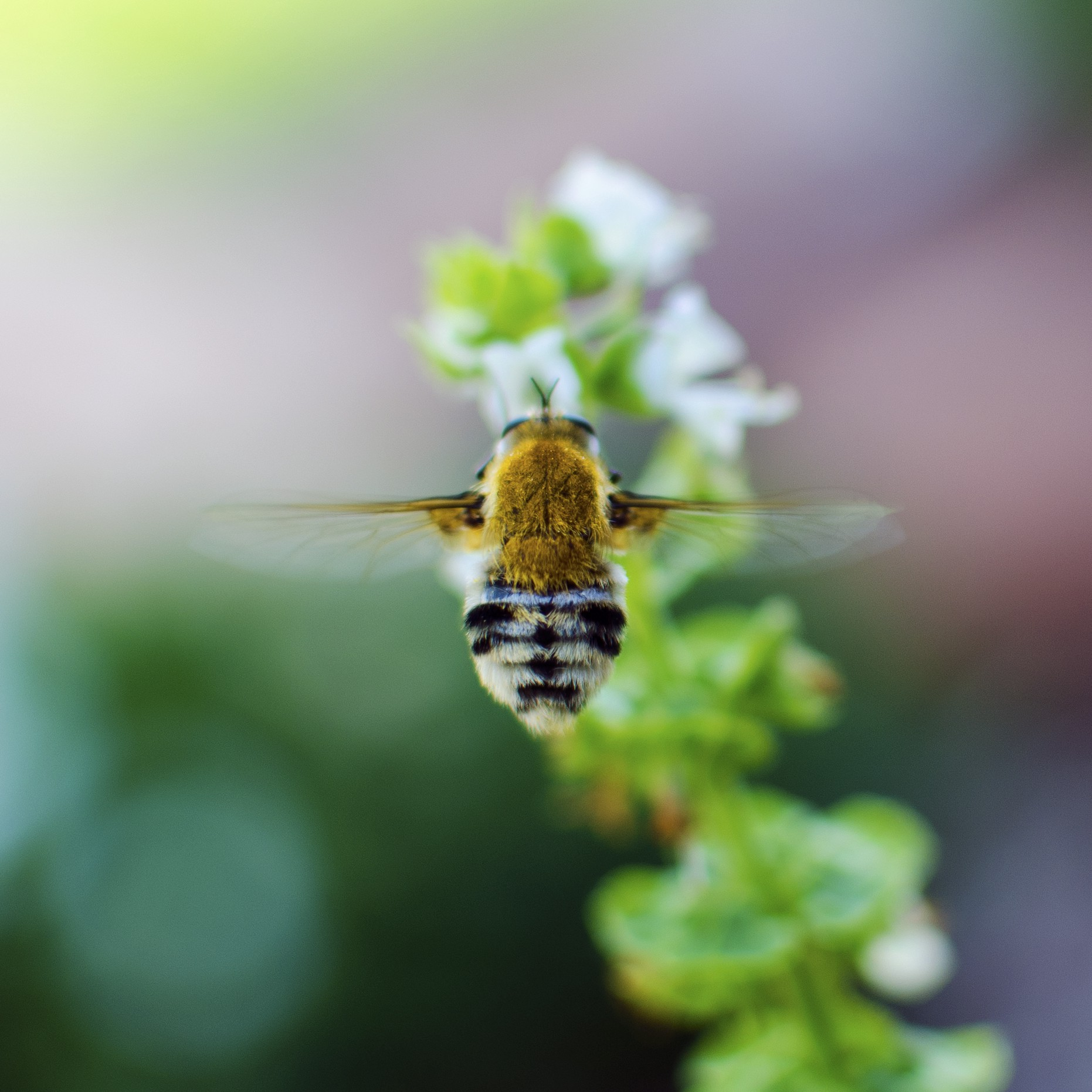 Photo of a bee hovering over a basil plant