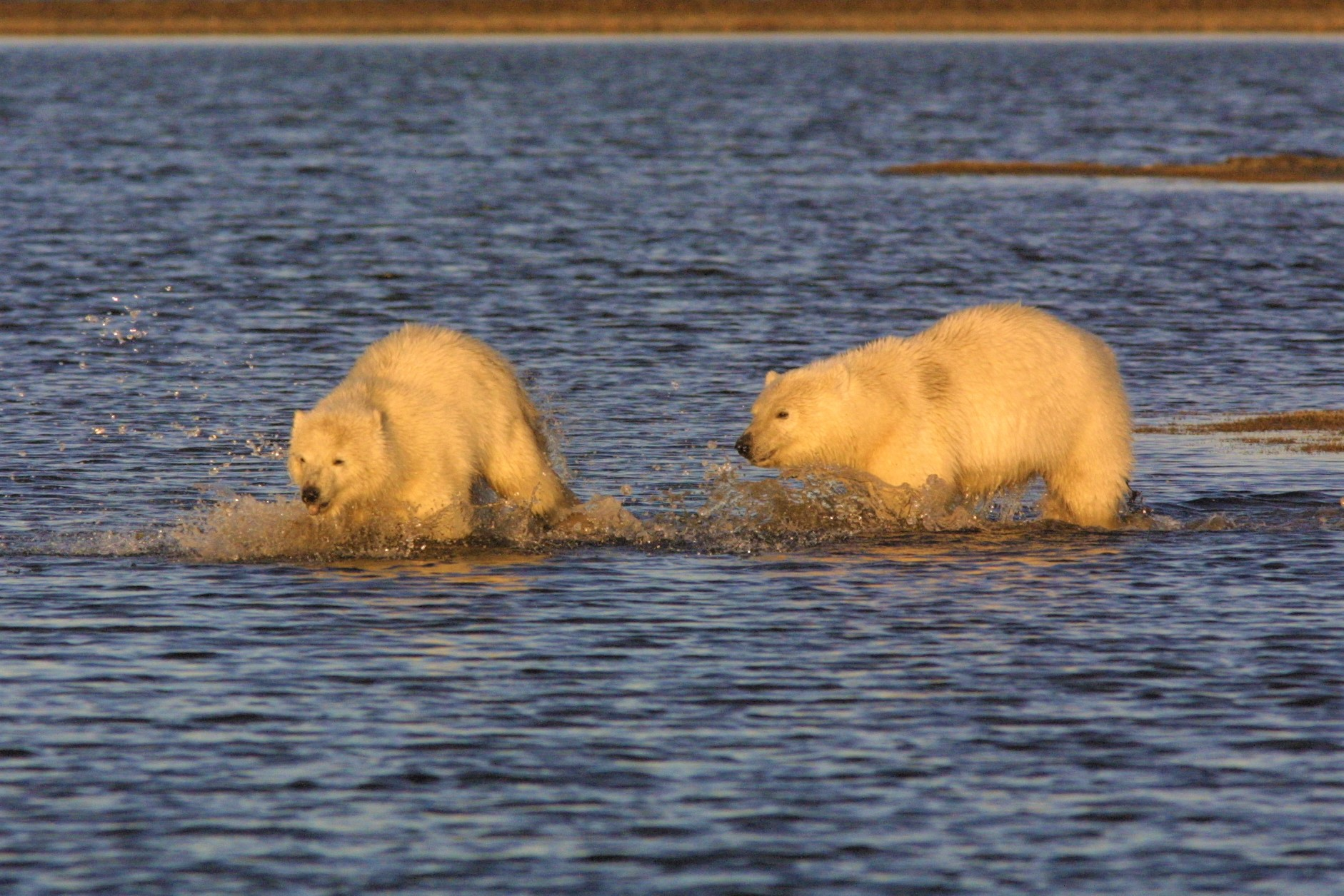 Two polar bear cubs splash through shallow water.