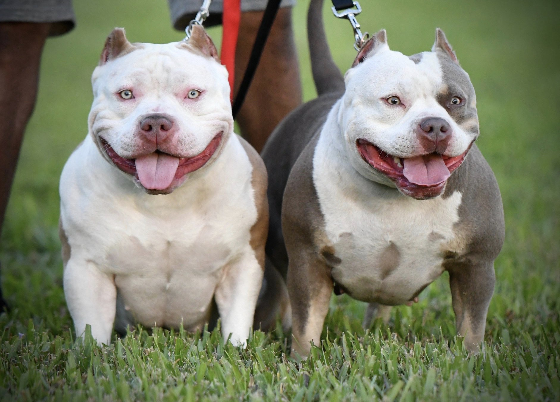 Amazing American Bully Puppies For