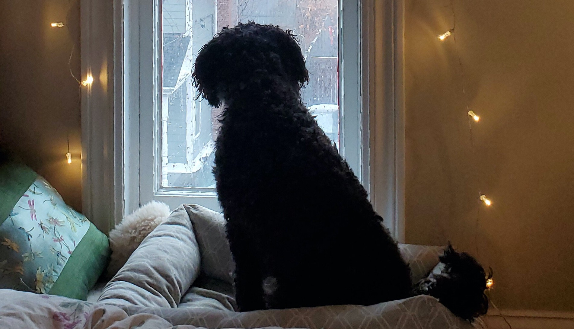 A black dog looking outside a window at the sun outside.