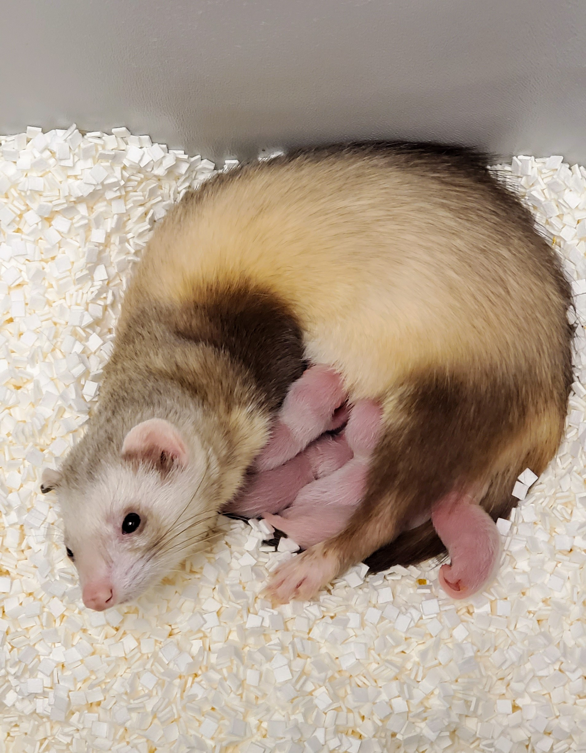A domestic ferret mother feeding multiple ferret kits while laying in paper bedding