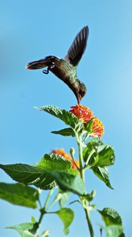 Humming bird collection nector from an orange flower