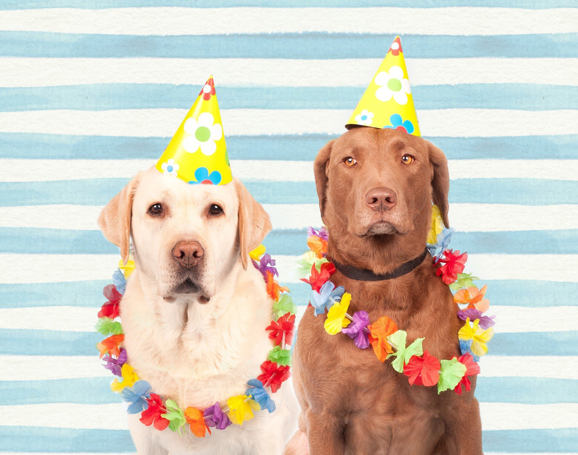 Two Labrador Retriever dogs in Hawaiian leis and party hats, looking solemnly into the camera.