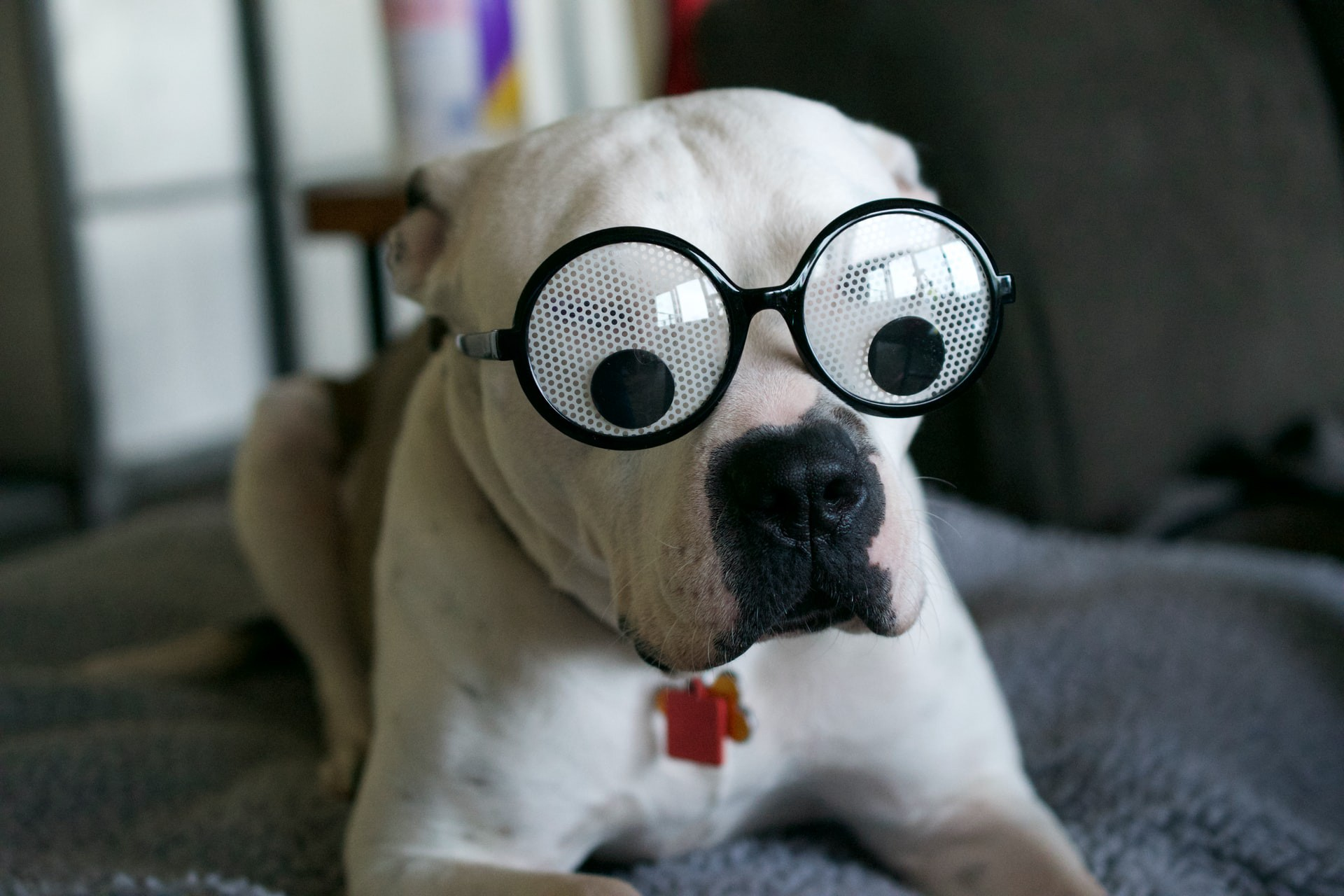 Dog wearing glasses with googly eyes.