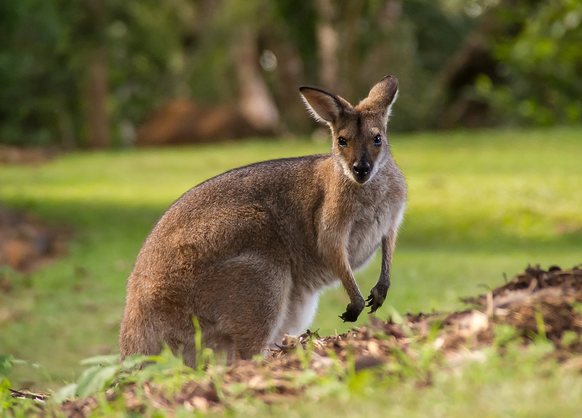 Did You Know There Are Wallabies In Scotland By Laura Jane Clements Creatures Medium