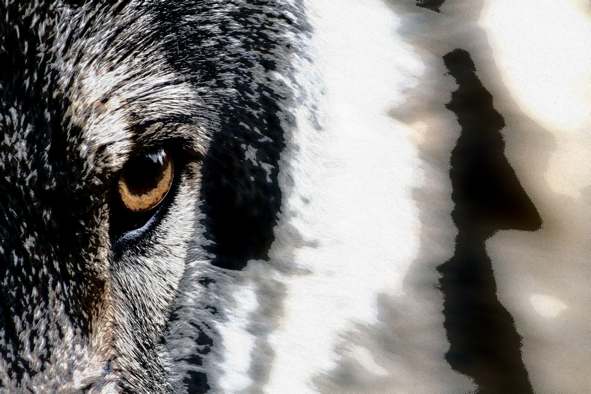 Closeup of a wolf's eye with effects that make it look like a human shadow to the right.