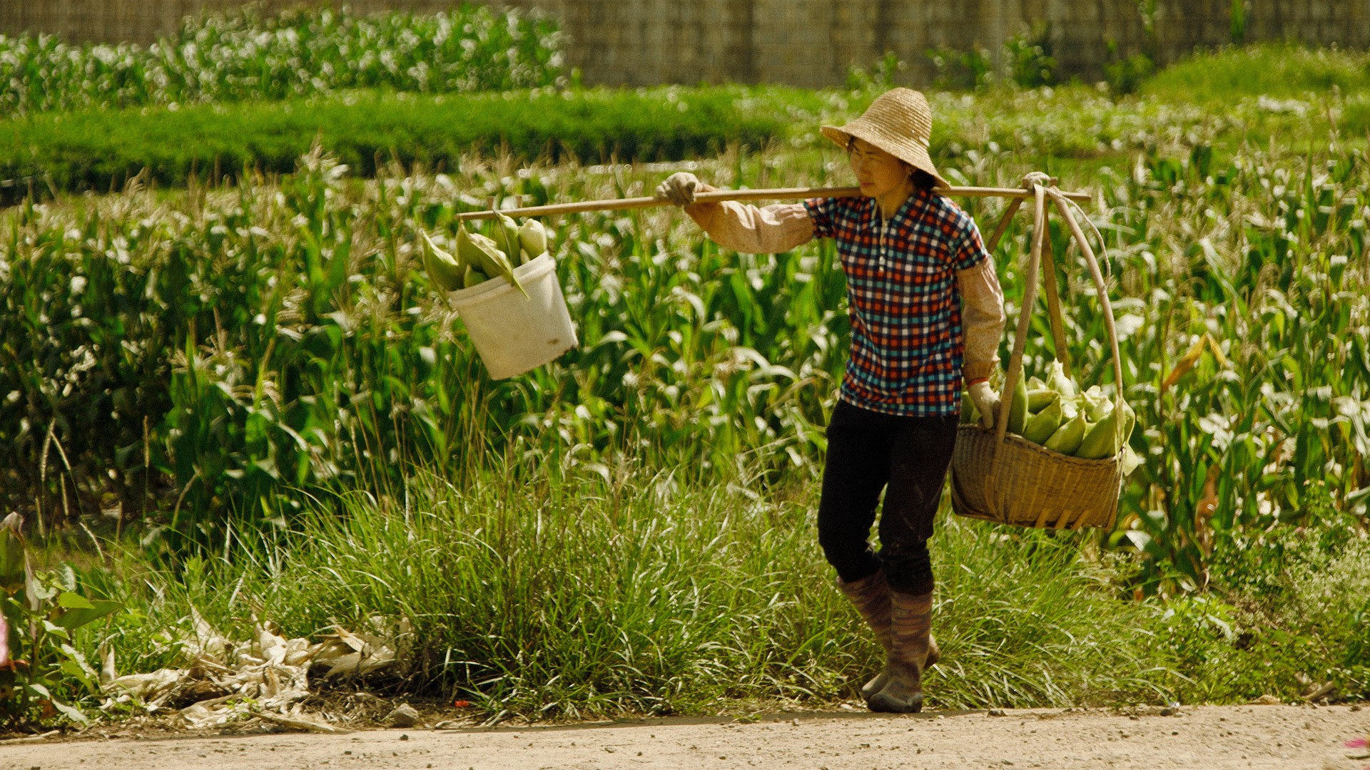 Chinese villager woman, walking around the corn crops, carrying the harvest