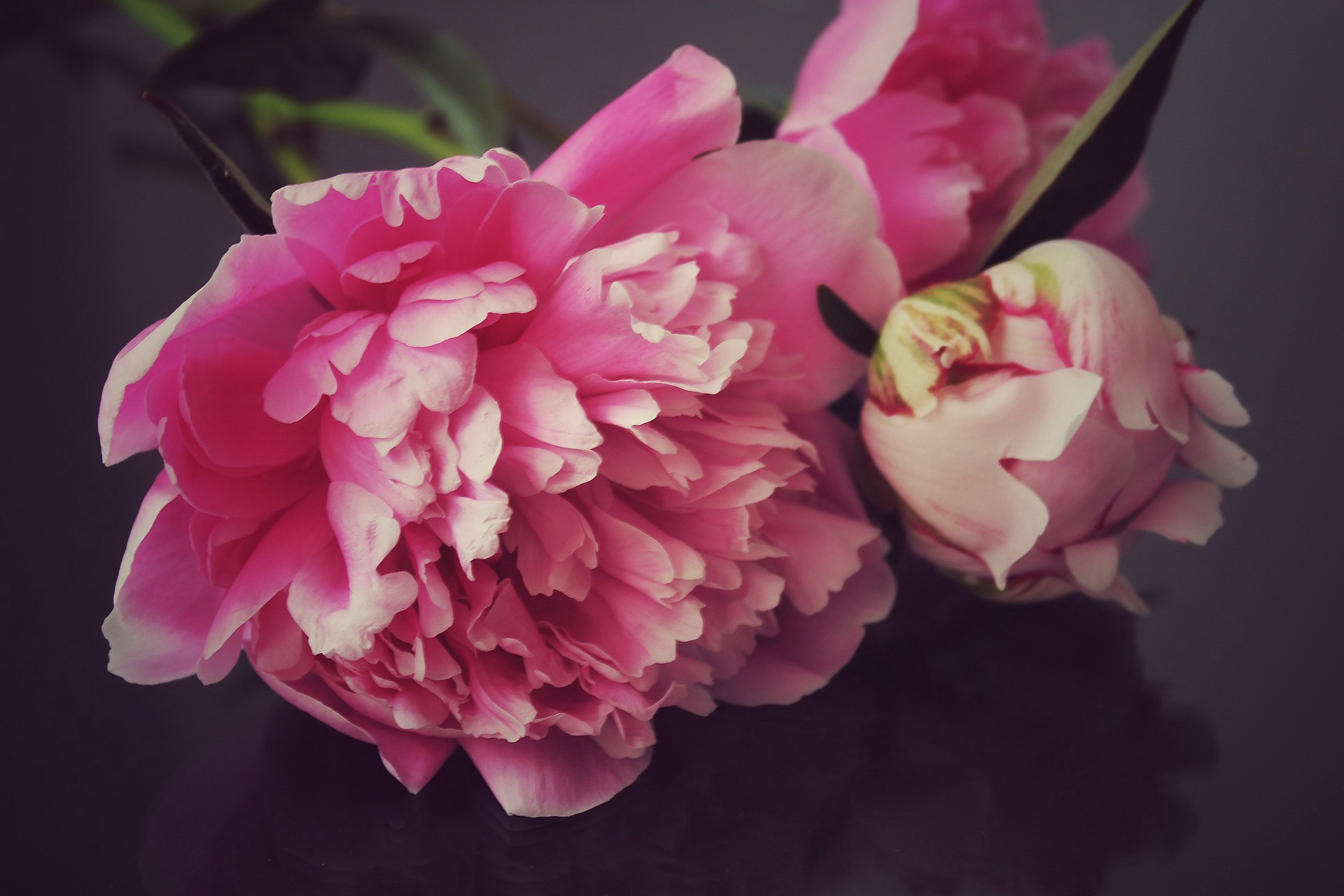 Close-up of peony blooms.