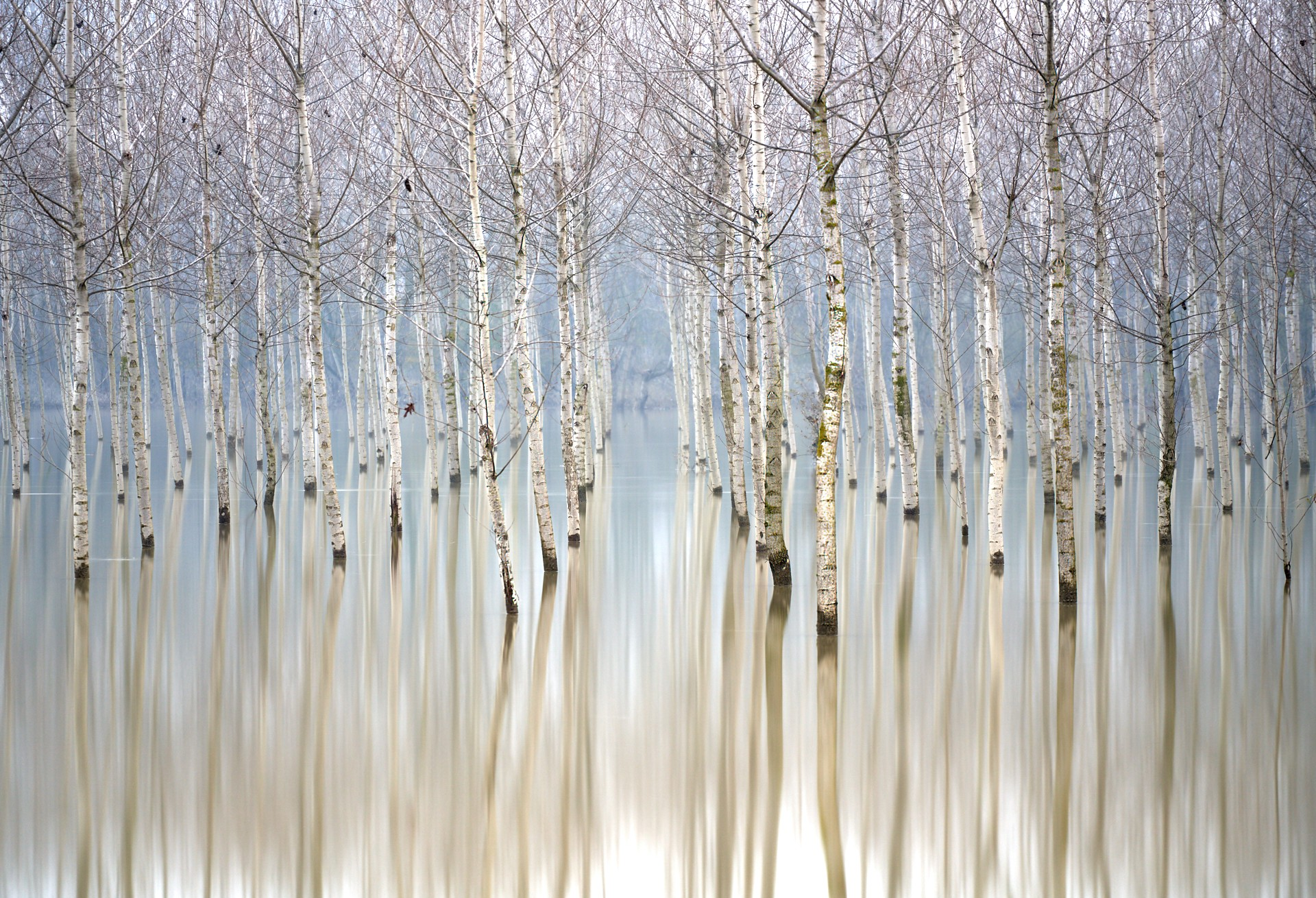 Birch trees pop out of a still lake, with their reflections on the water giving the entire photograph a painterly effect