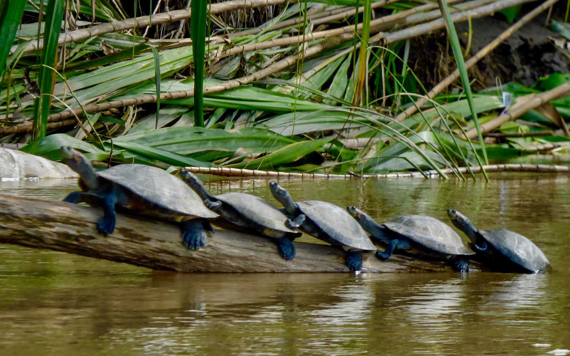 A photo of turtles sunning on a log in the Amazon River; over 45 turtles and terrestial tortoises exist in the Amazon Basin