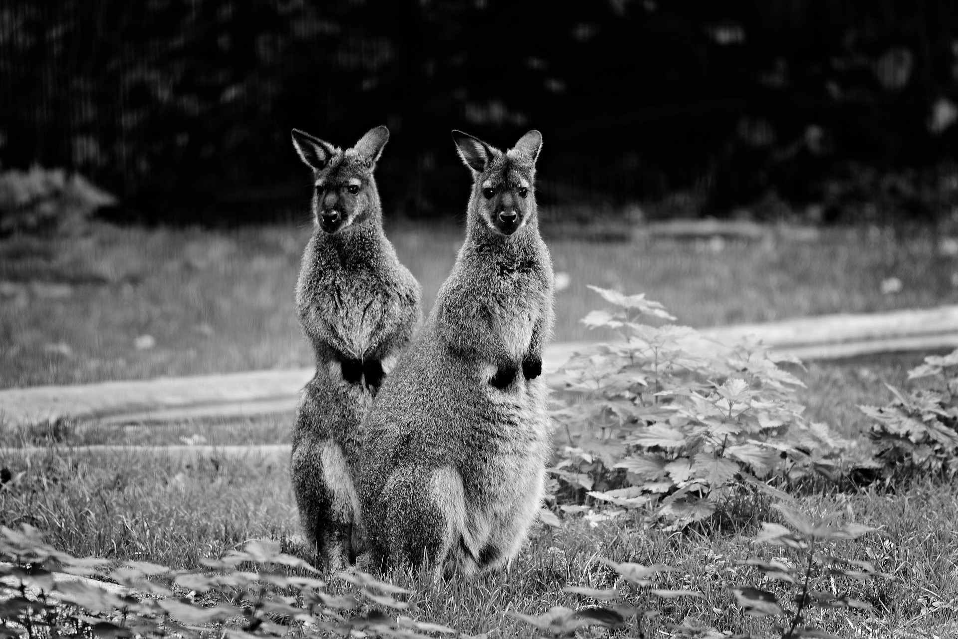 Image of two wallabies
