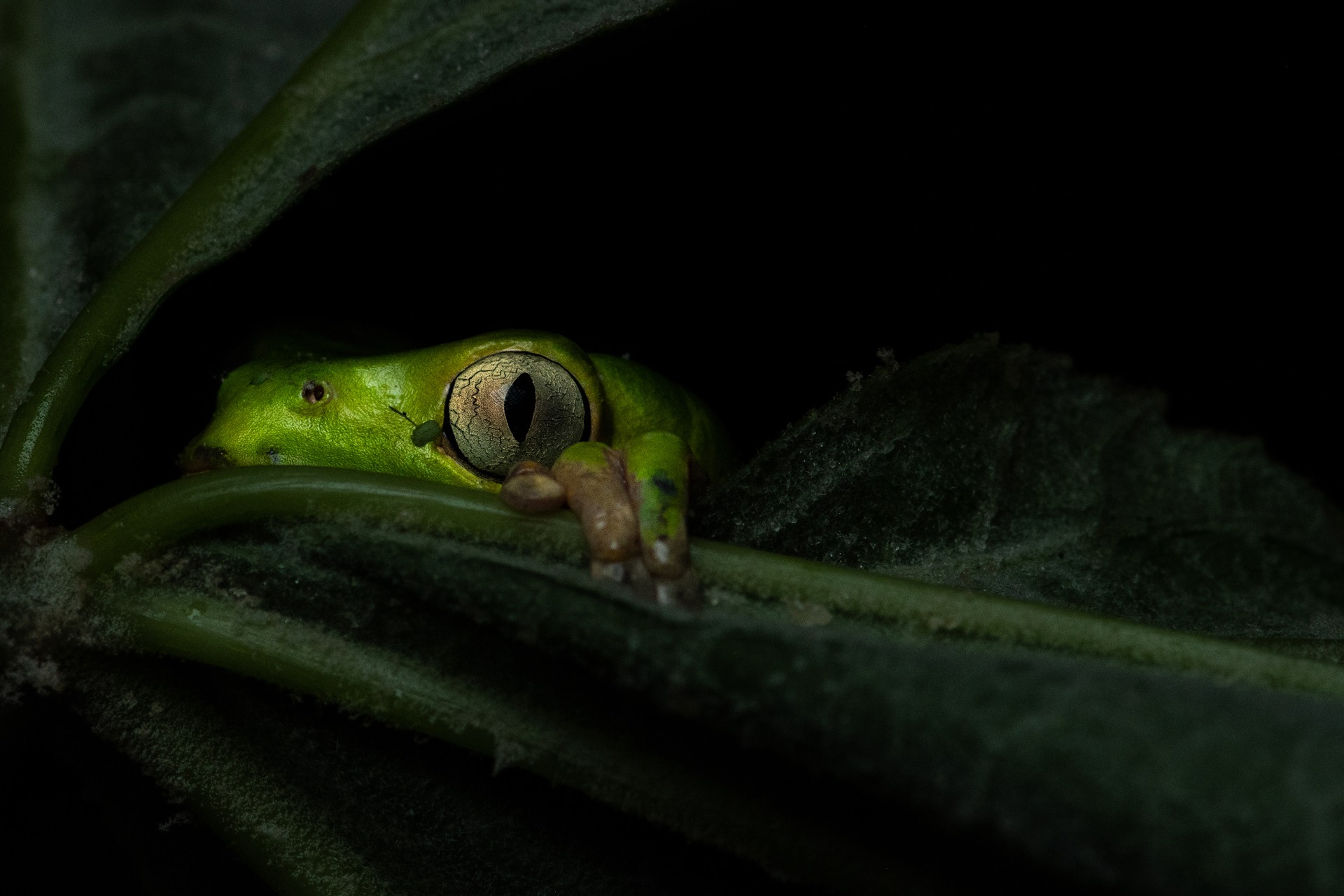 Close-up of a tree frog in Argentina.