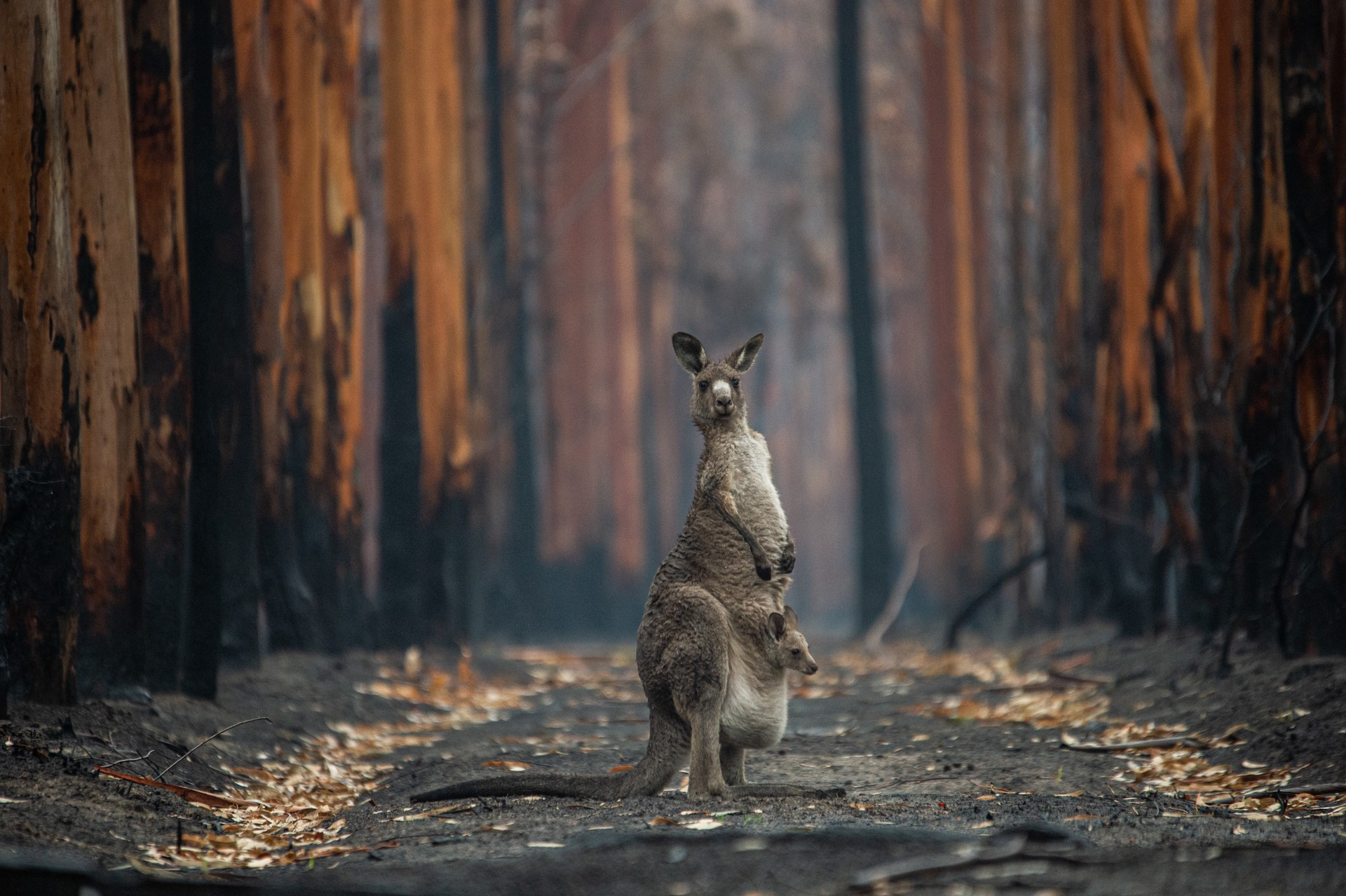 A kangaroo and her joey stand on a path in the middle of a burned forest.
