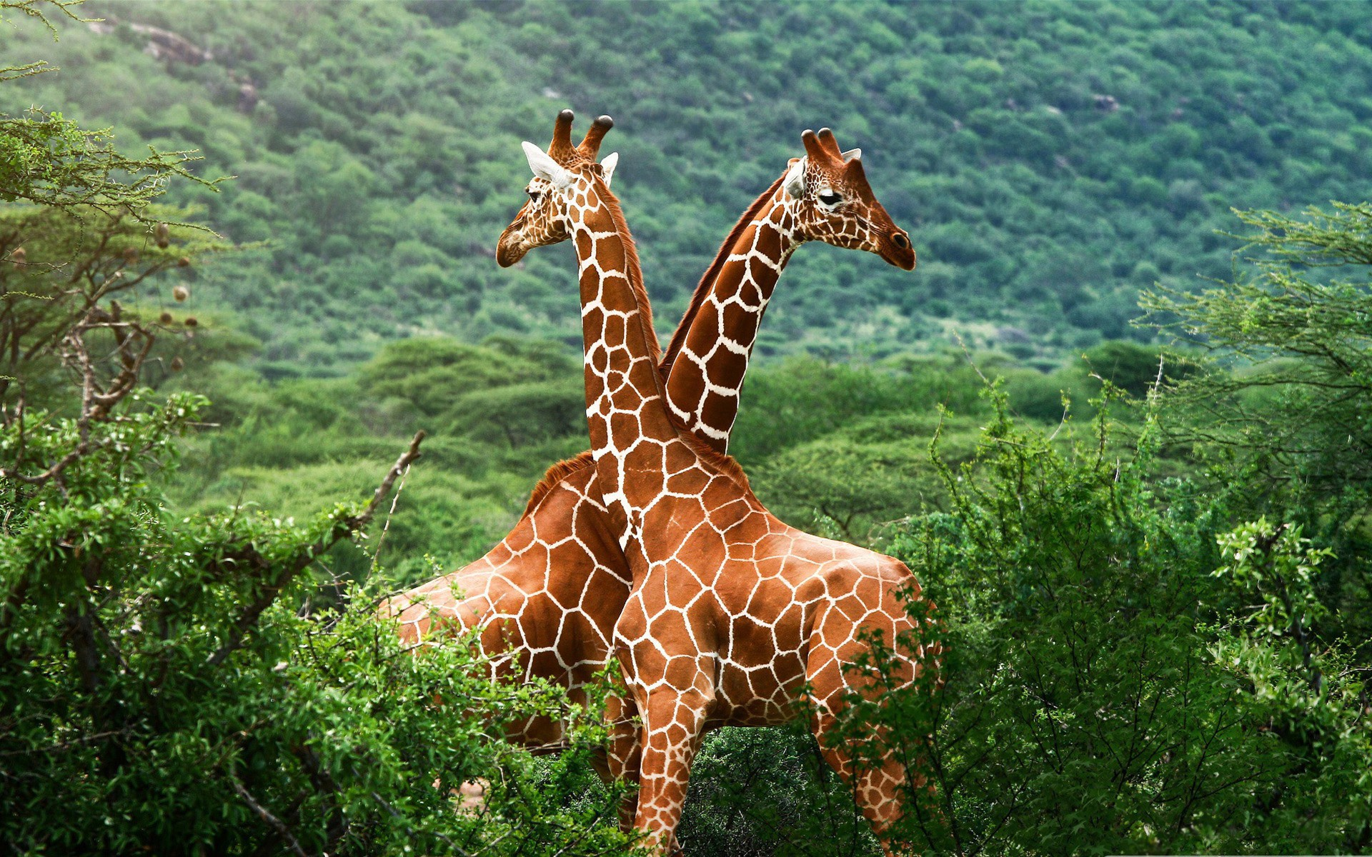 Two Giraffes symbolizing a CVS and IngenioRx / Anthem partnership in the U.S. healthcare industry jungle.