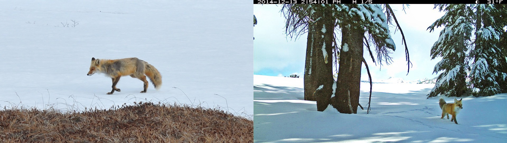 A side-by-side comparison of two orange and white foxes, walking through snow.