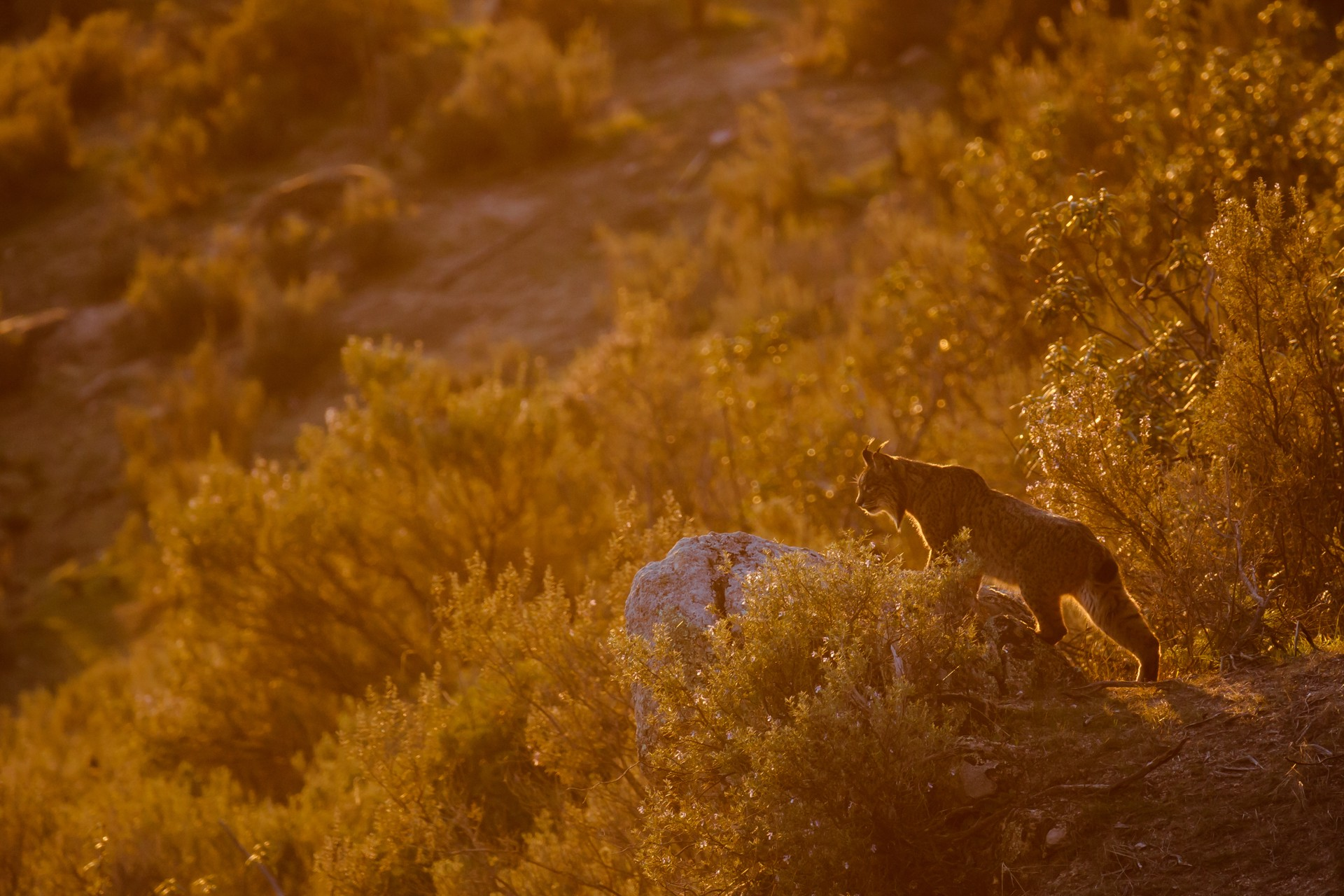 A lynx stalks the landscape in Spain.
