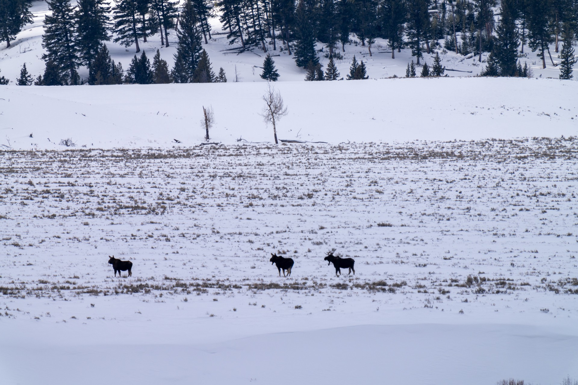 Three adult moose are traversing the vast, empty snow-covered fields. Conifer-lined mountains lie in the background.
