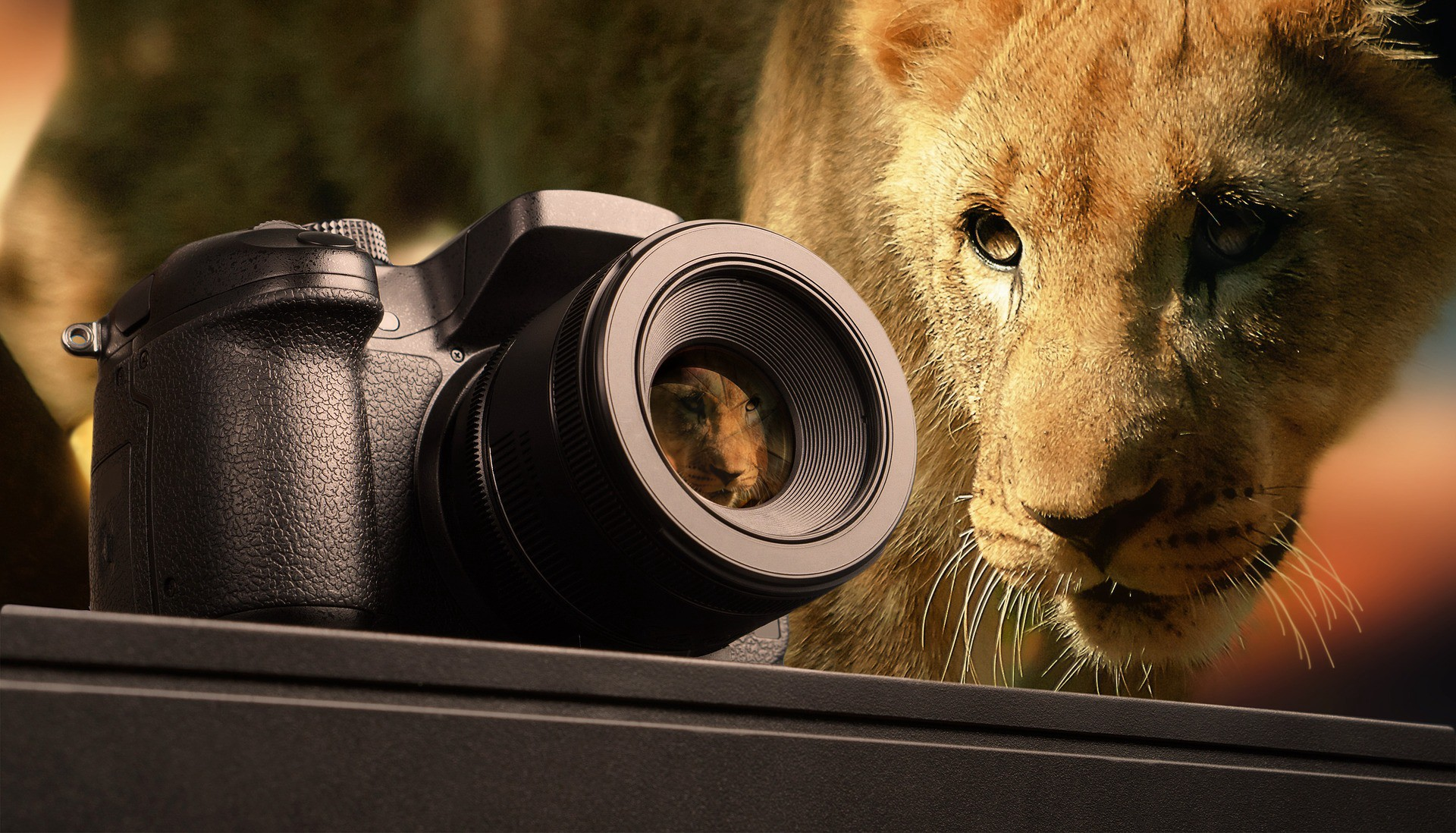 Female lion looking at a camera
