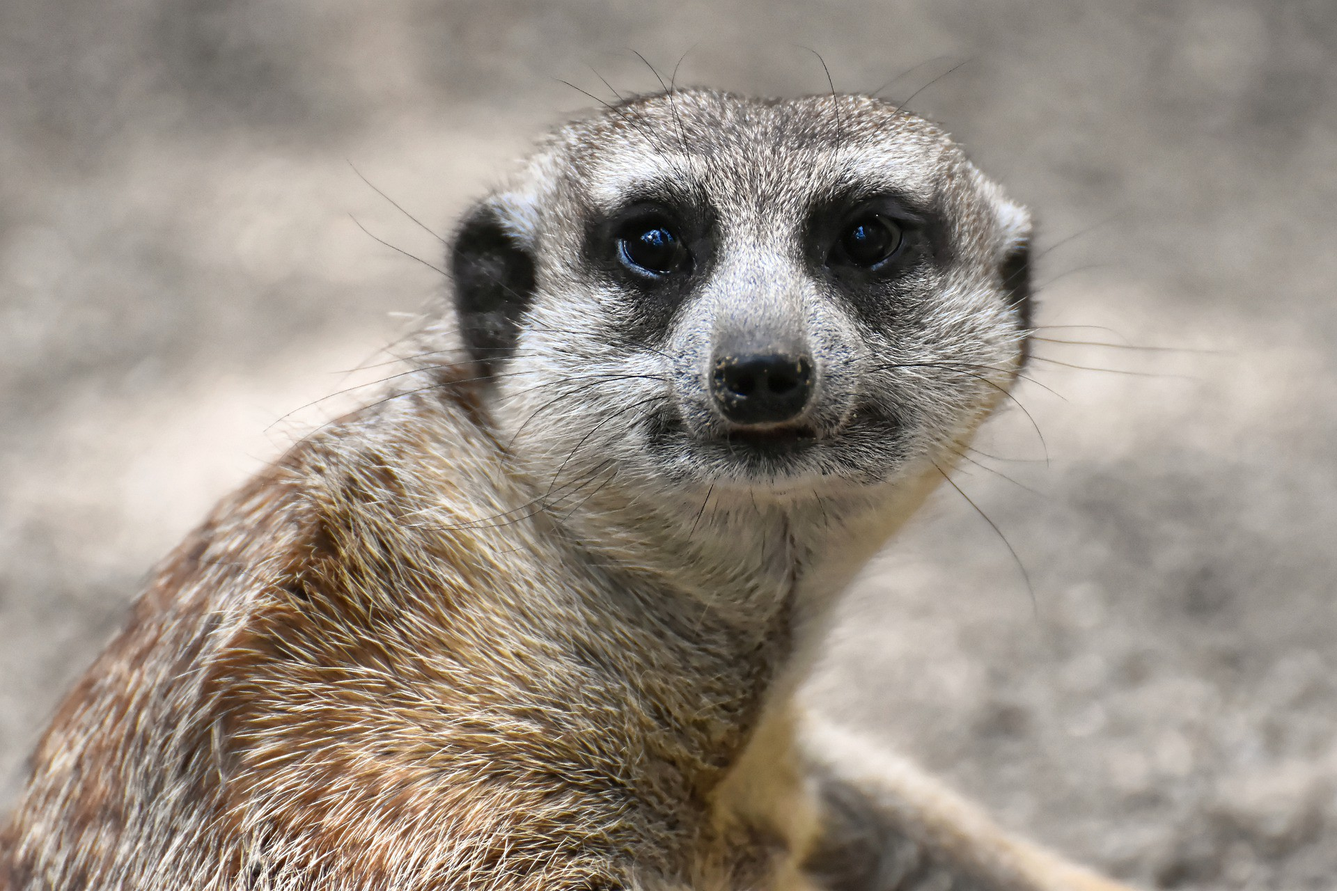 """Meerkat with a """"Really, Medium?"""" quizzical expression on its face."""