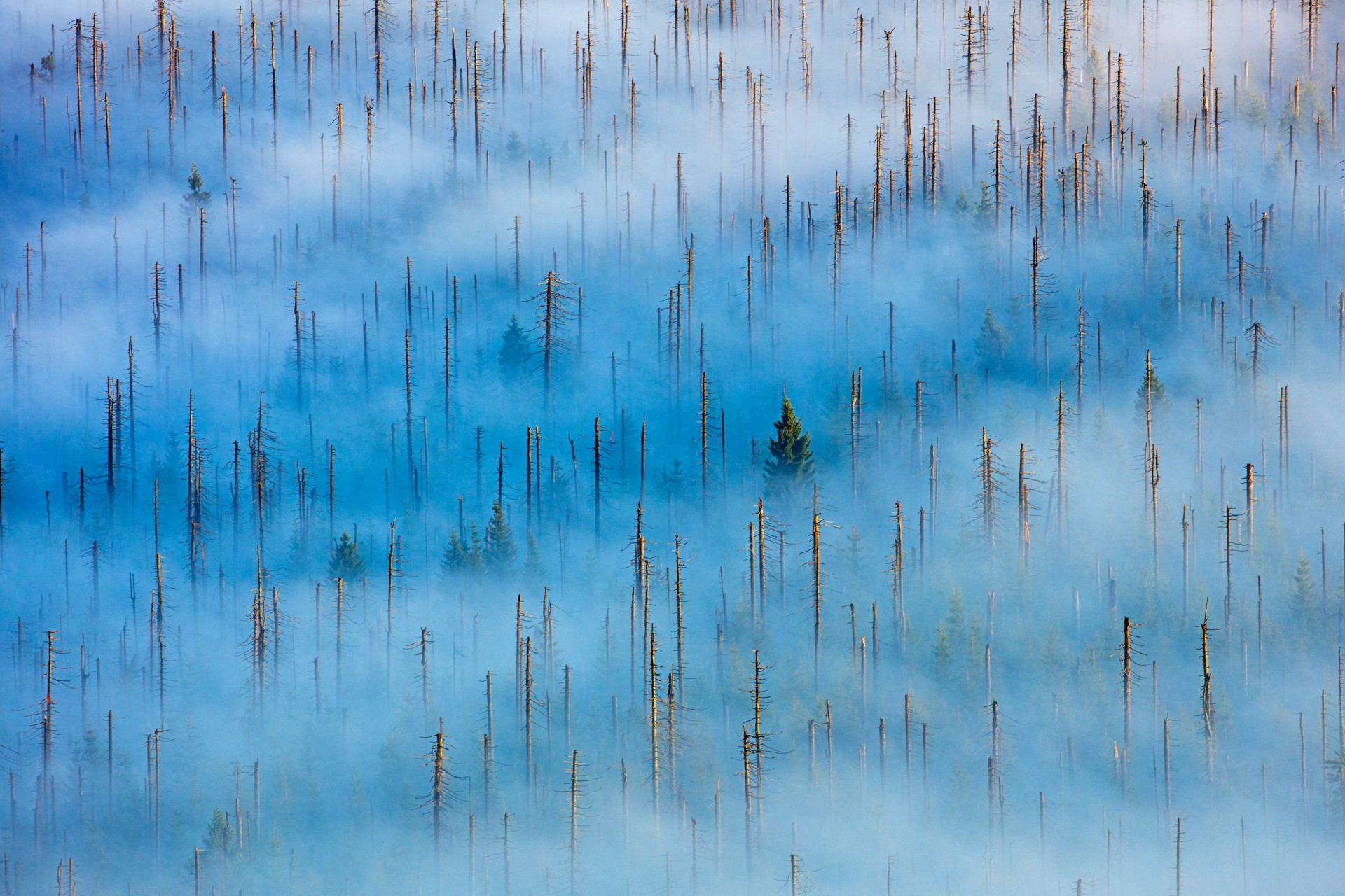 Dead trees rise above the fog in a Bavarian forest.