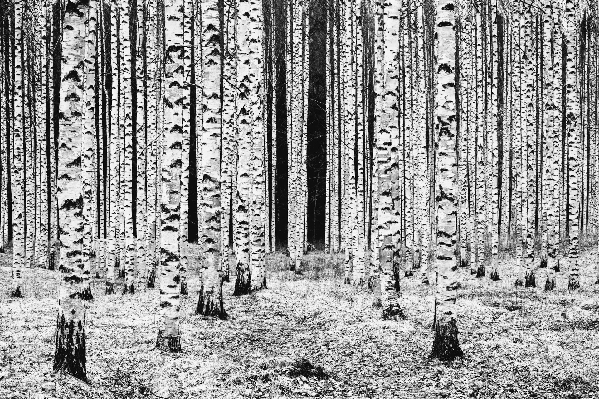 Black and white birch columns in Finland.